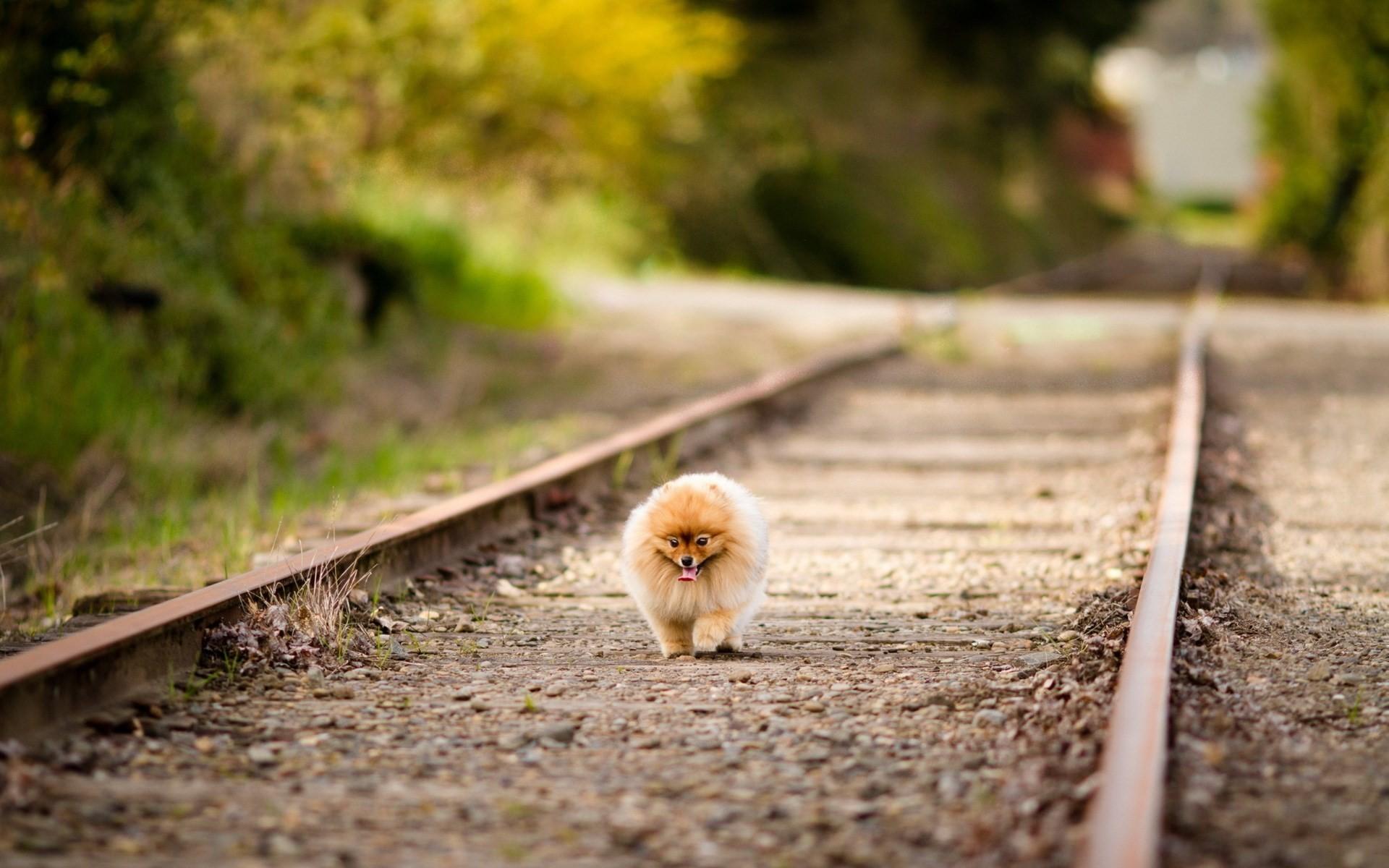 Pomeranian Wallpaper 61 Images