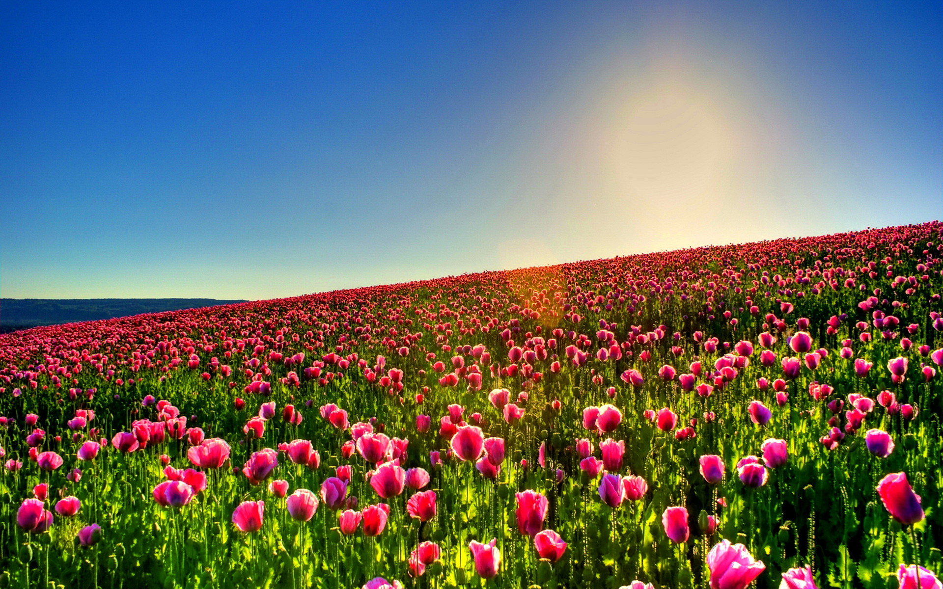 1920x1200 Tulips wallpapers