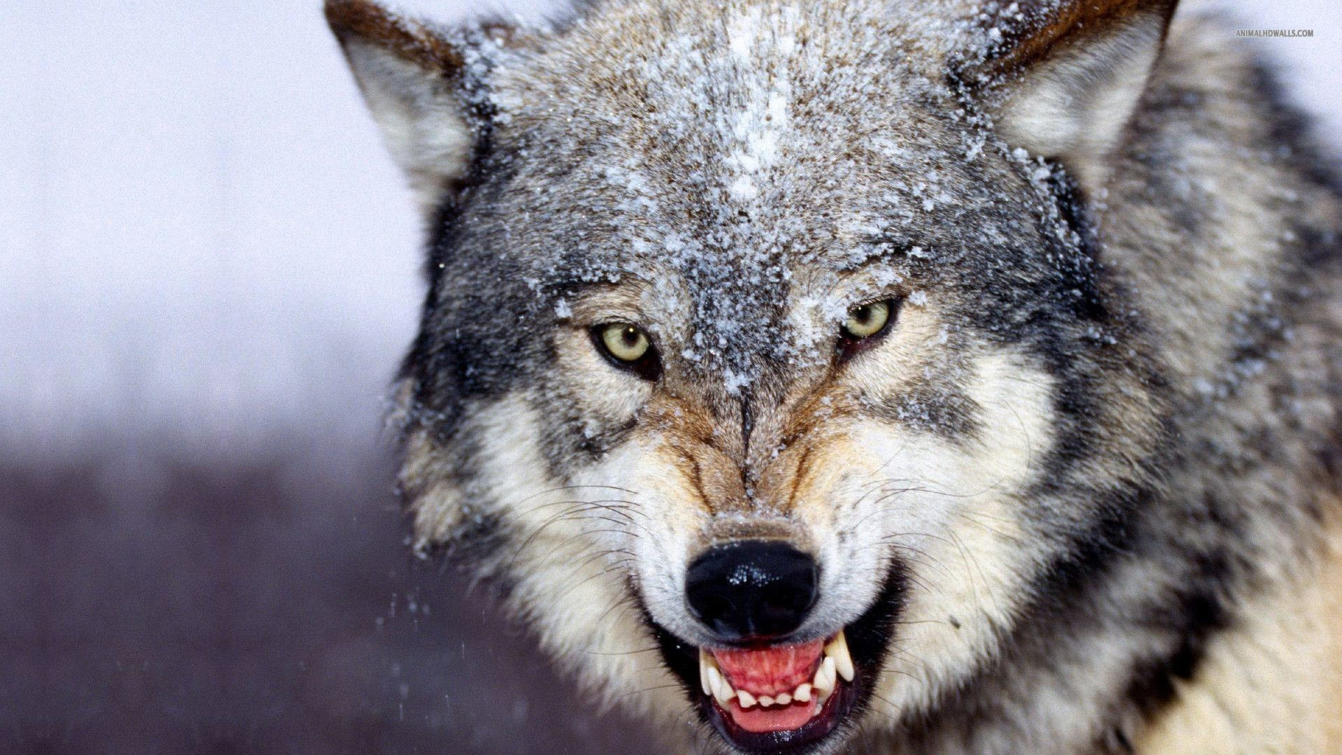 1920x1080 Wolf Pack Fantasy Abstract Background Wallpapers on Desktop Wolf Pack Wallpapers  Wallpapers)