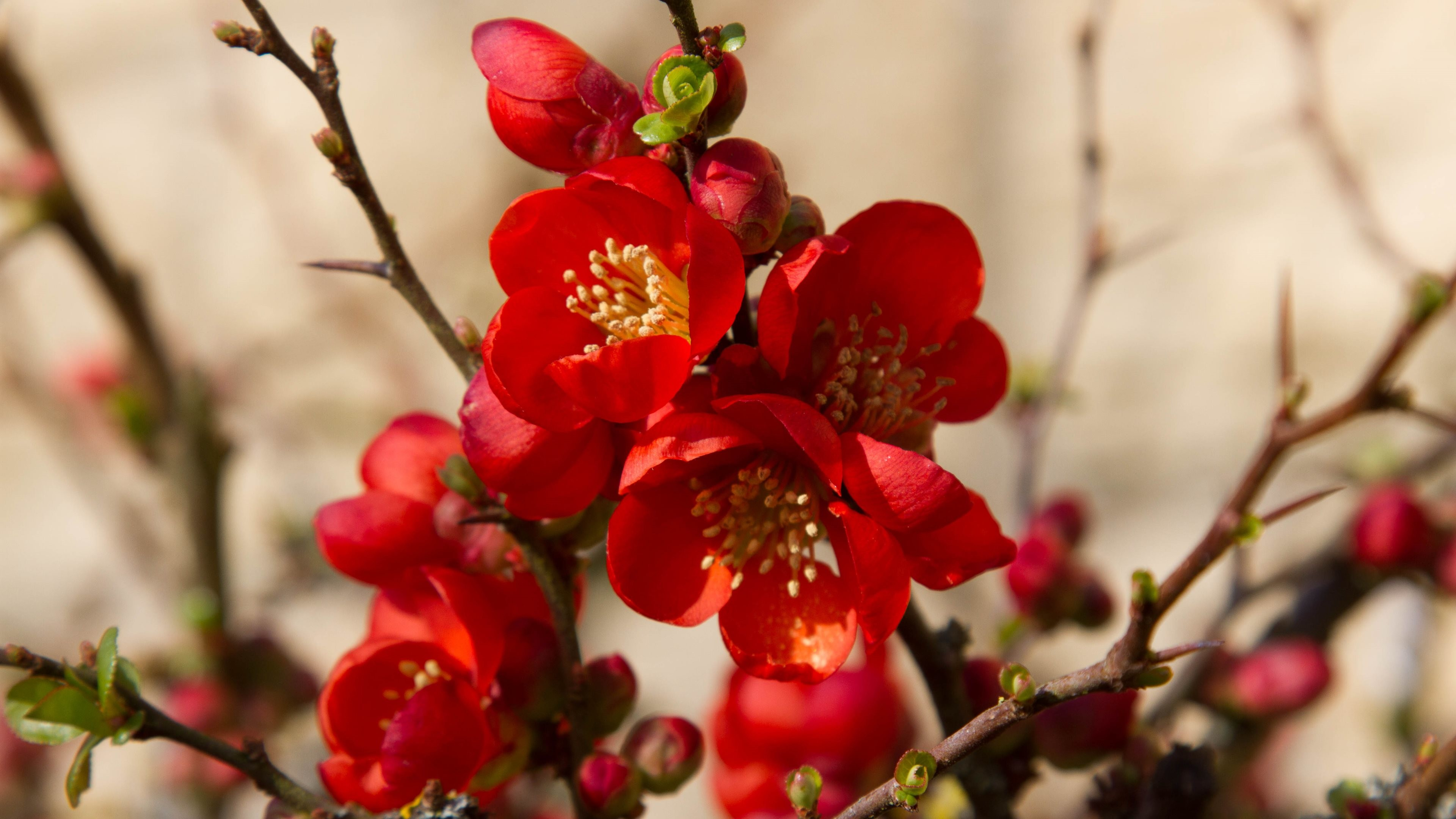 3840x2160 4K HD Wallpaper: Flowers of the Spring: Japanese Quince