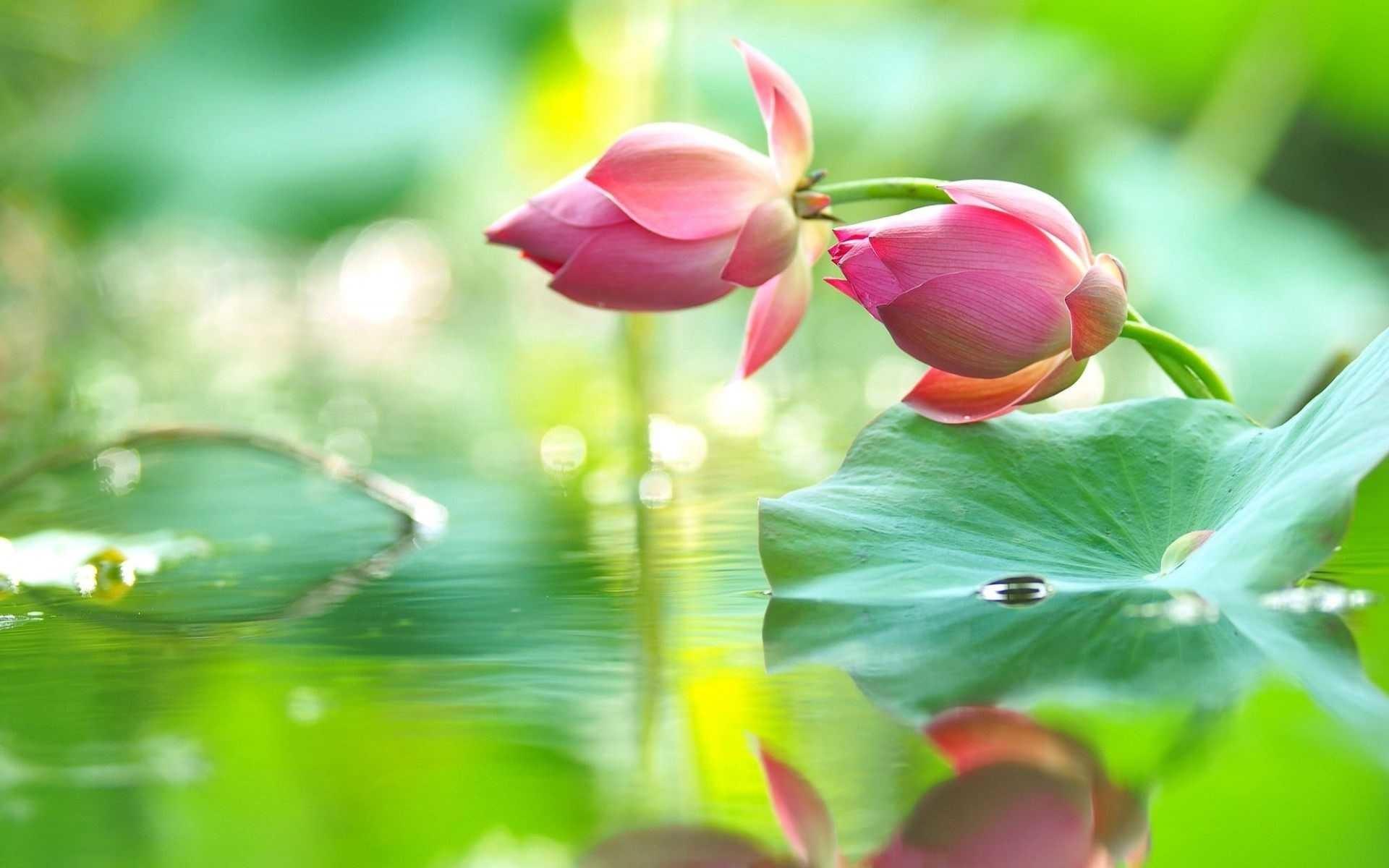 Lotus Flower Wallpaper 72 Images