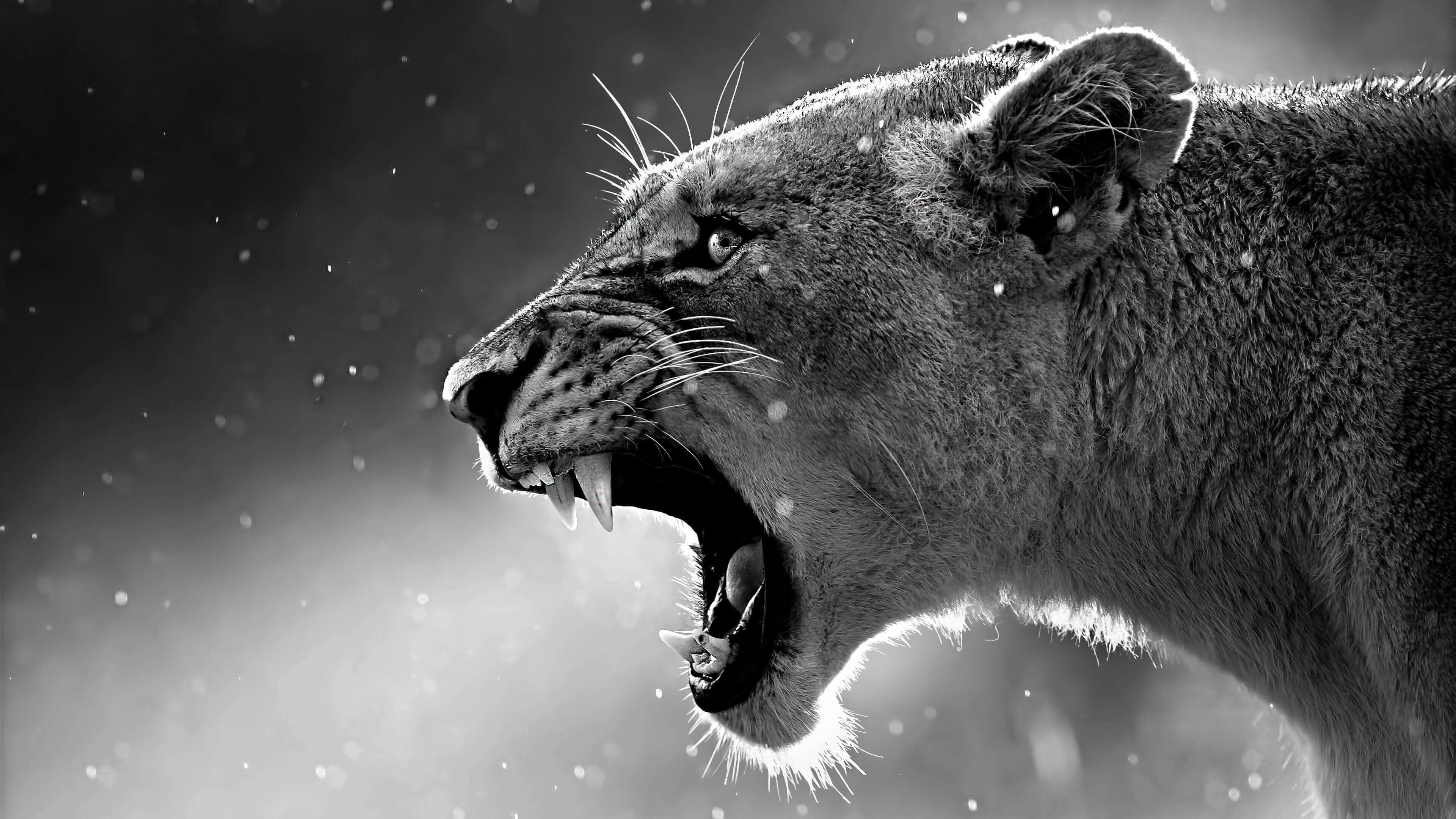 3840x2160 Lioness In Black And White Wallpaper For 4k Desktop Hd Background Wallpapers Free Amazing Cool