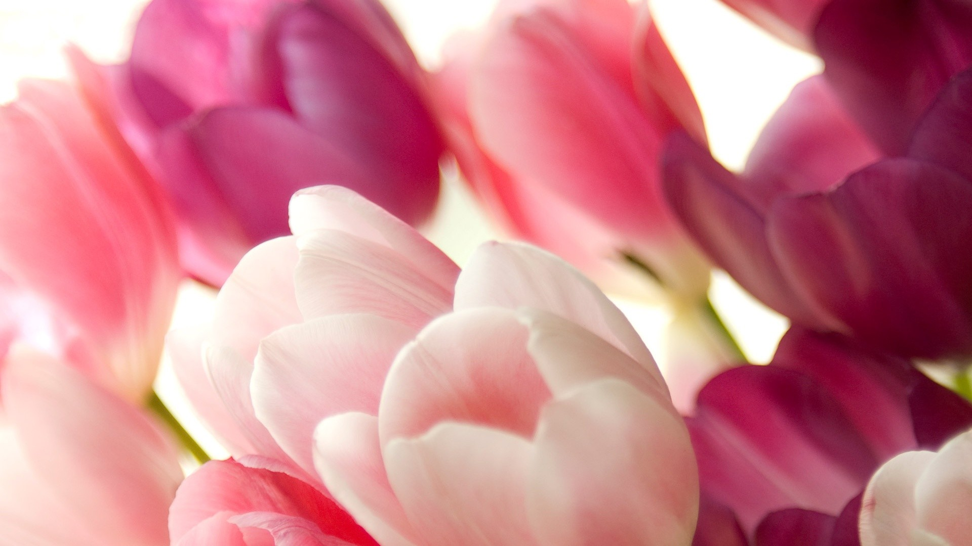 1920x1080 Pink Tulips Wallpapers Wallpaper 1280×1024 Tulips Images Wallpapers (45  Wallpapers) | Adorable Wallpapers | Desktop | Pinterest | Tulips flowers  and ...