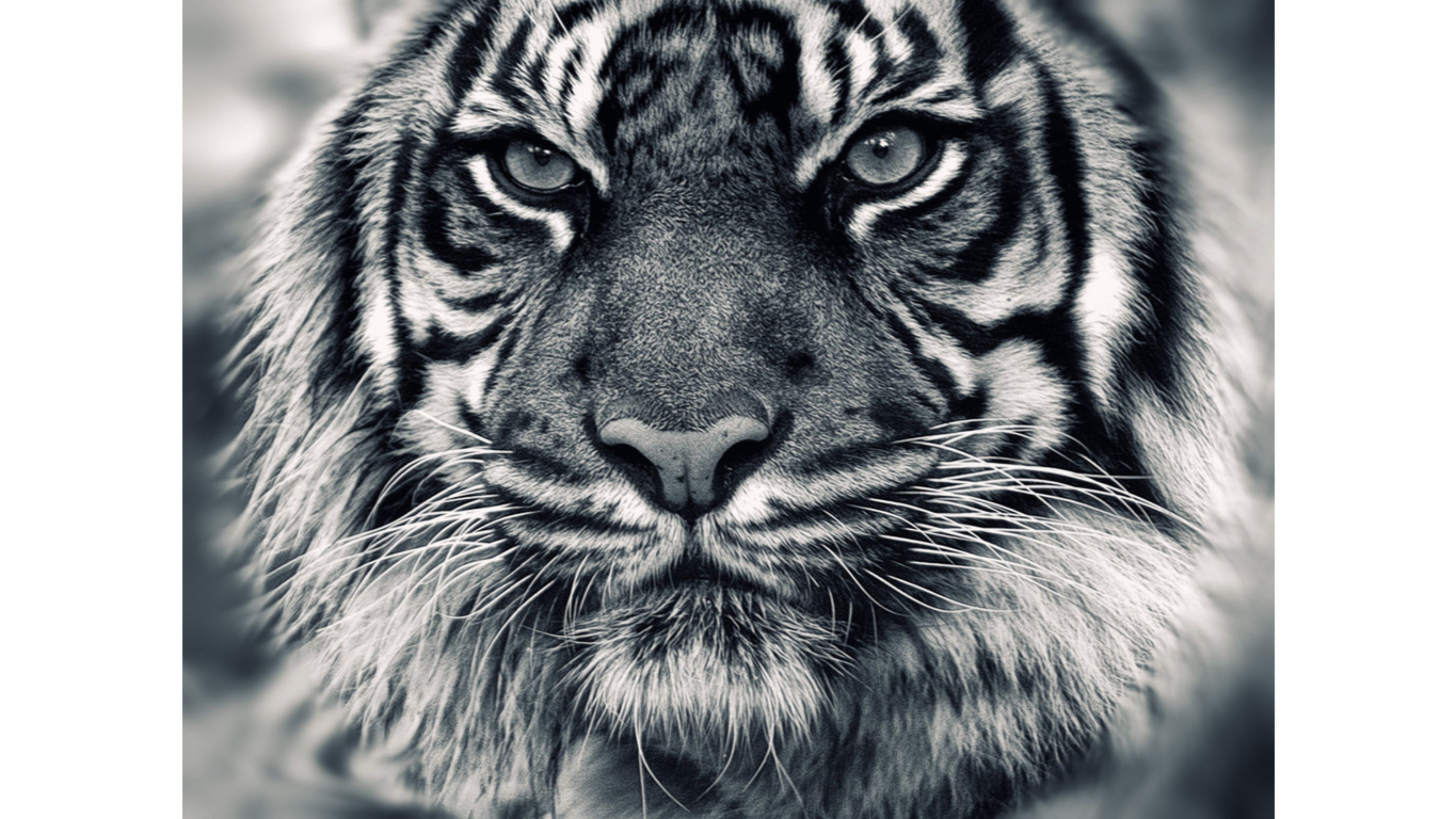siberian tiger wallpapers 59 images