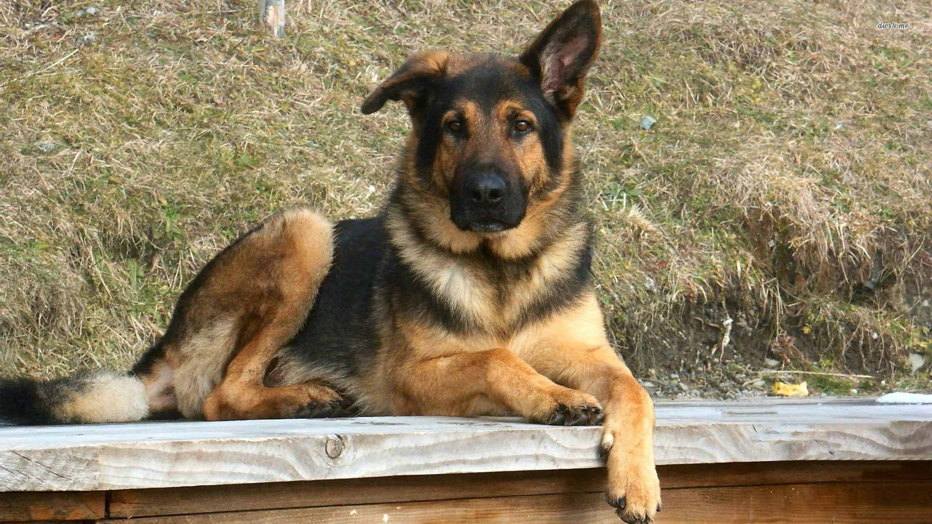 Dog German Shepherd Wallpapers (73+ images)