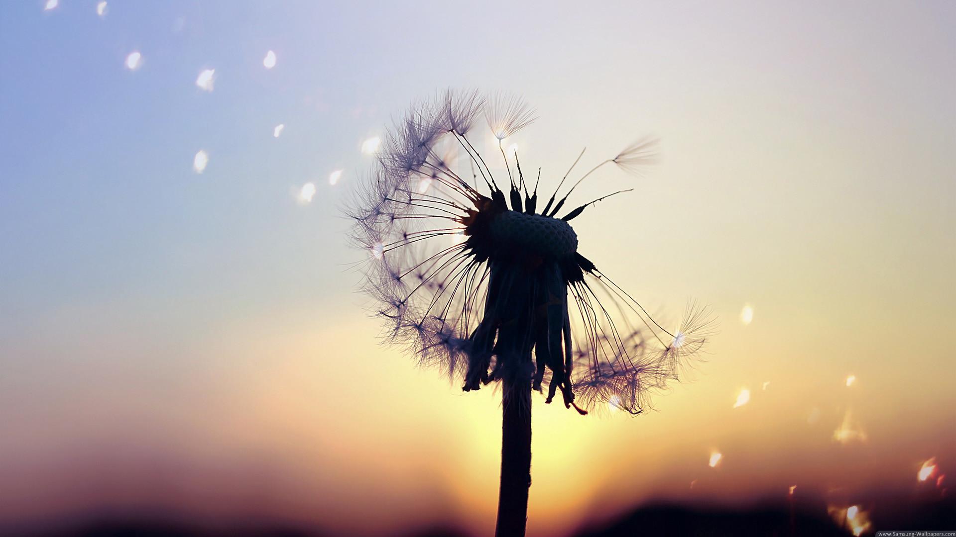 Dandelion Background 60 Images