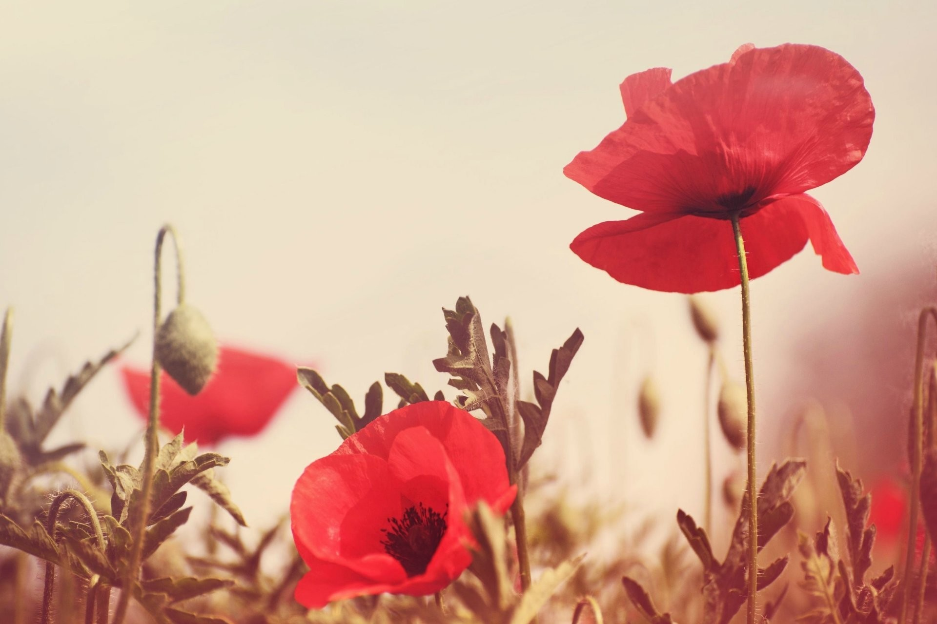 1920x1280 flower flowers poppy red the field green background wallpaper widescreen  full screen hd wallpapers
