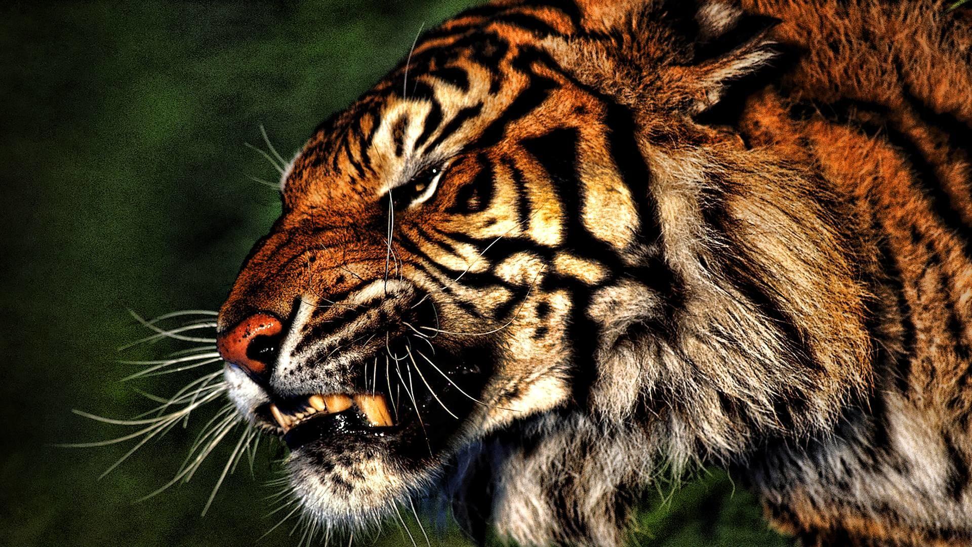 Desktop Hd Tiger Attack Pics: 1920x1080 Tiger Wallpaper Full HD (65+ Images