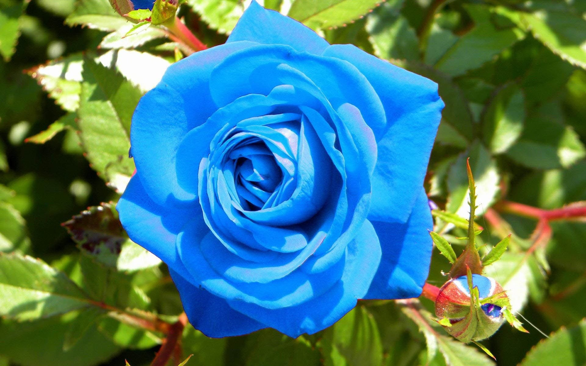 1920x1200 Blue Rose Free Blue Rose Widescreen
