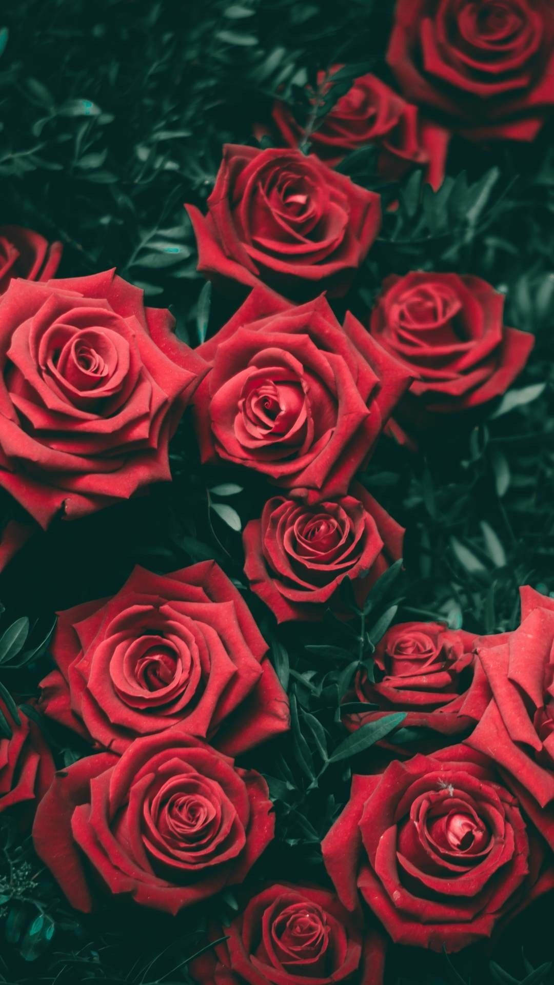 Red Rose Iphone Wallpaper 82 Images