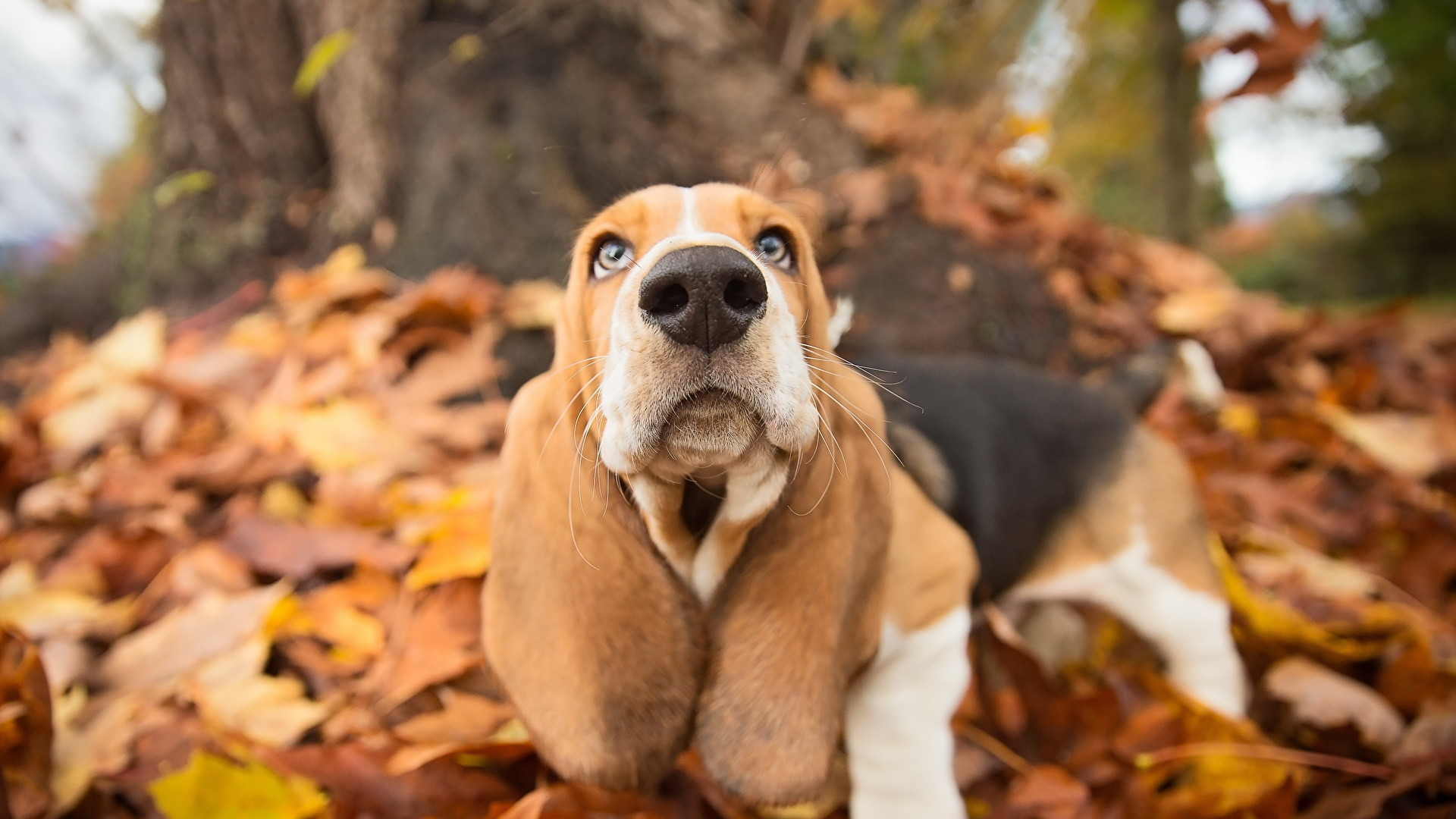 1920x1080 Wallpapers Basset Hound Dogs Nose Autumn Animals