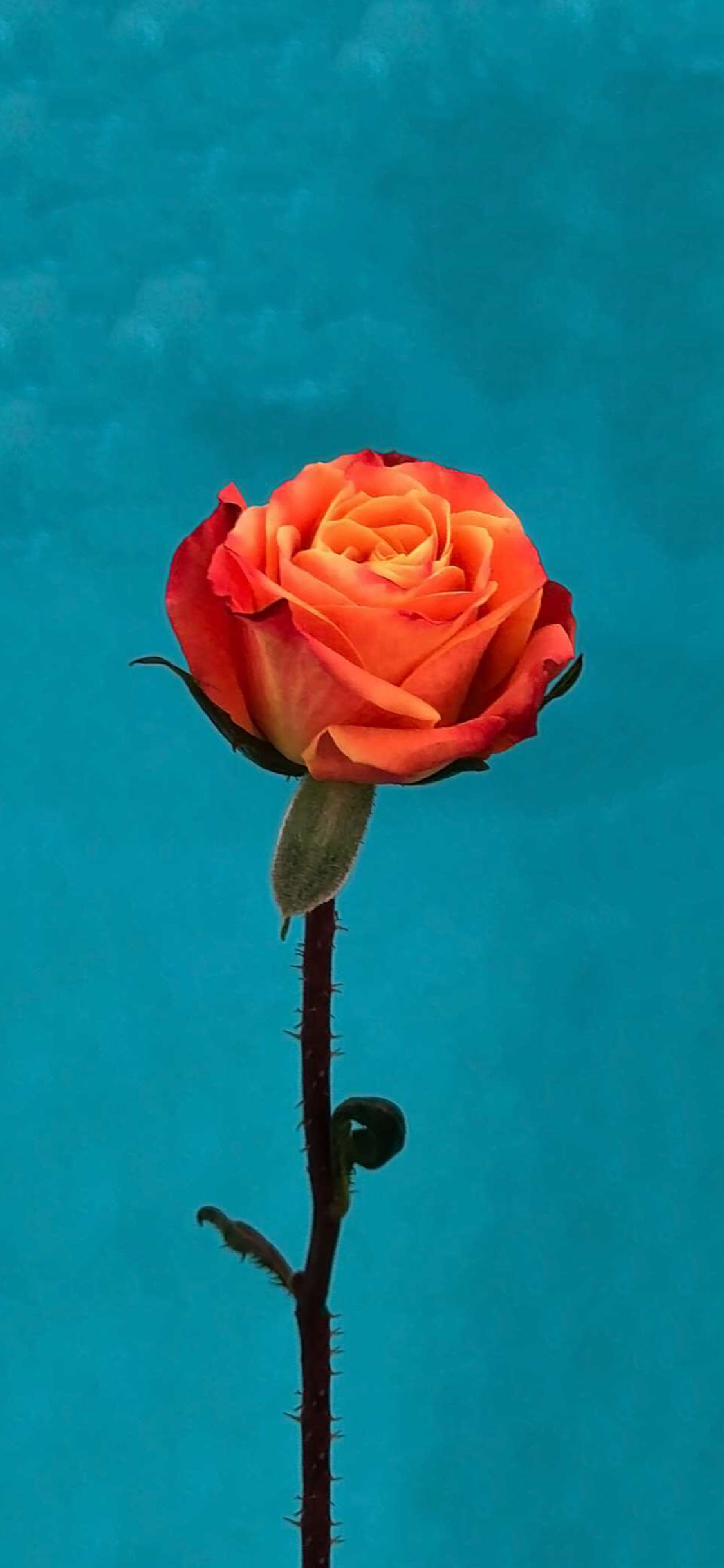 1229756 vertical red rose iphone wallpaper 1125x2436 for full hd