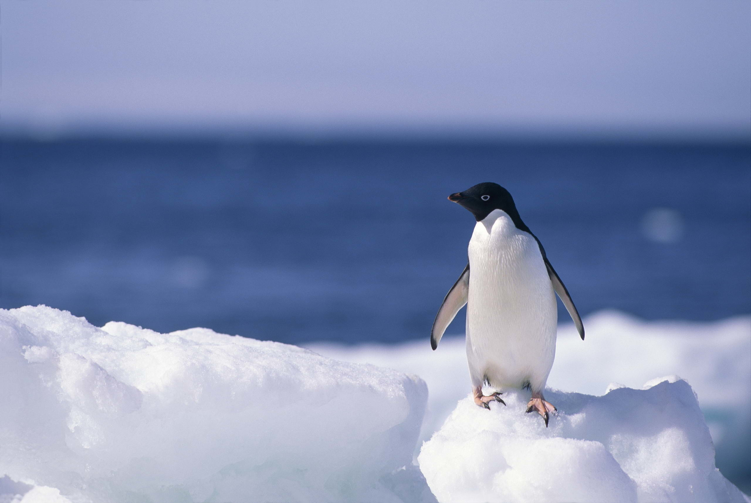 2560x1715  Penguin Wallpaper Desktop Background · 91 · Download · Res:  2560x1440 ...