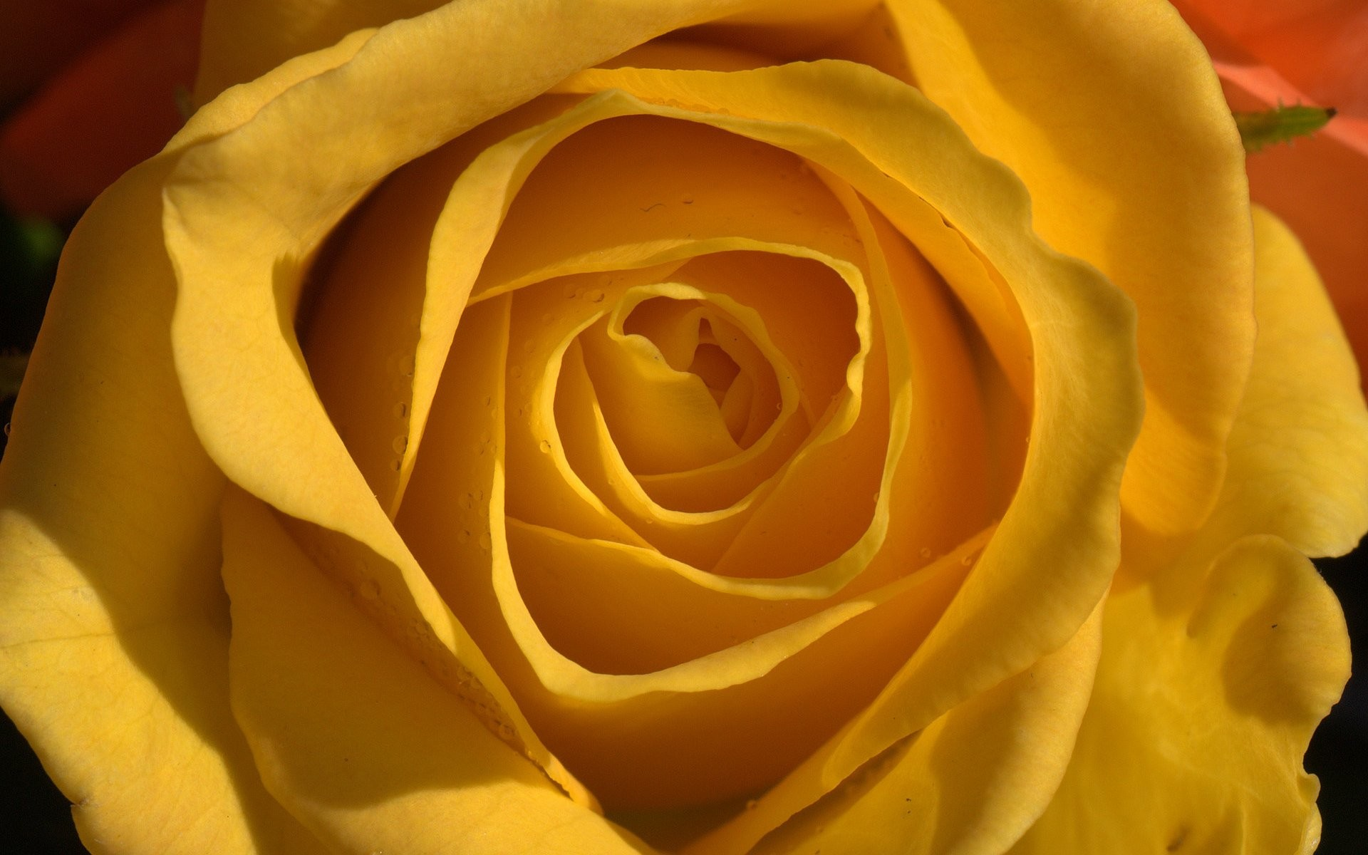 1920x1200 ... wallpaper cave; yellow roses 652064 walldevil ...