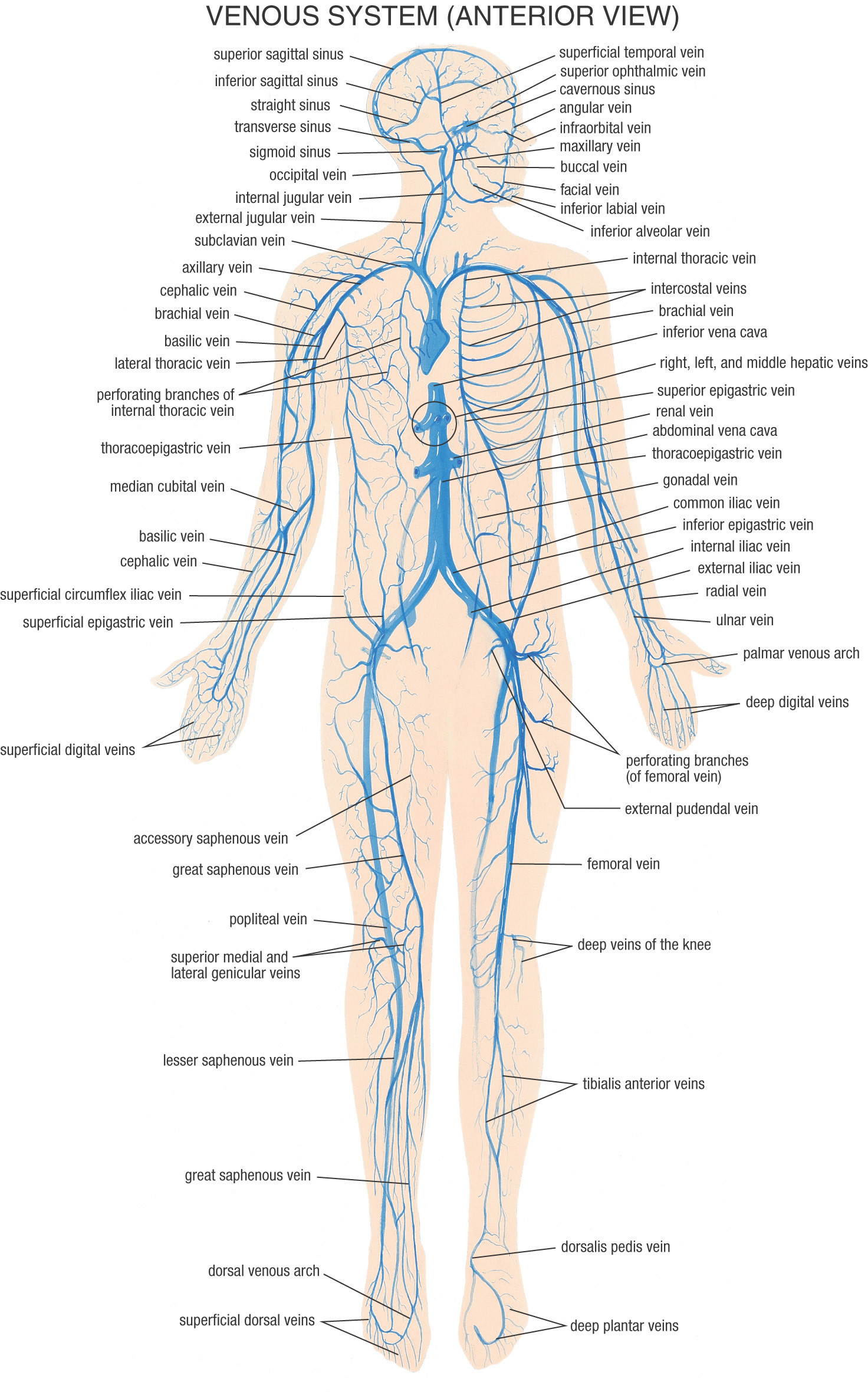 1472x2365 Human Physiology Skeletal System Full Hd Wallpapers Anatomy Of Full Body  Images – Learn Human Anatomy
