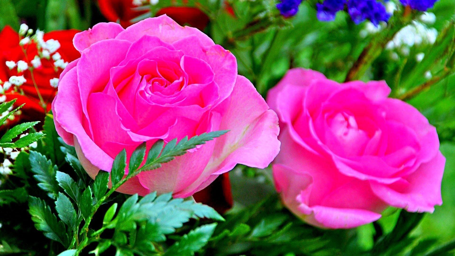 pink rose flower wallpaper (52+ images)