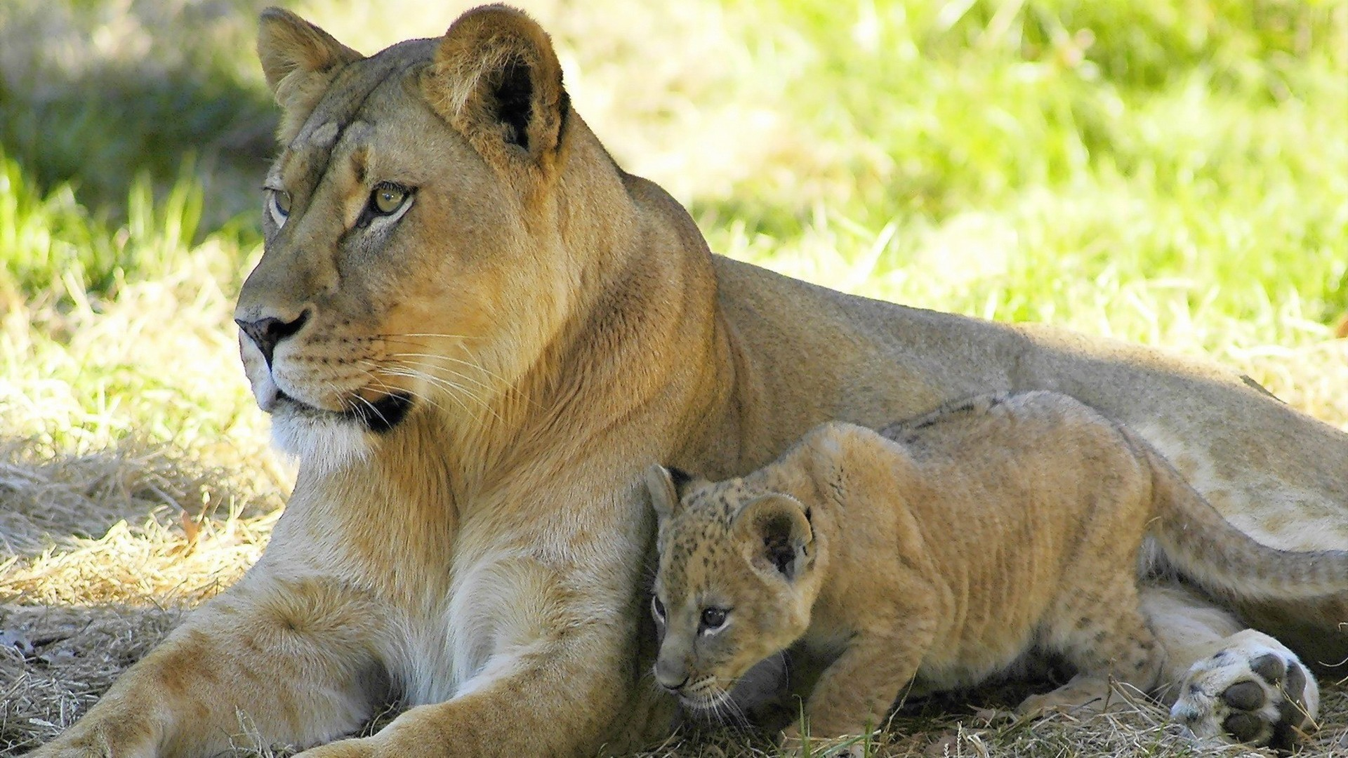 1920x1080 lion_lion_cub_couple_family_care_35931_.jpg