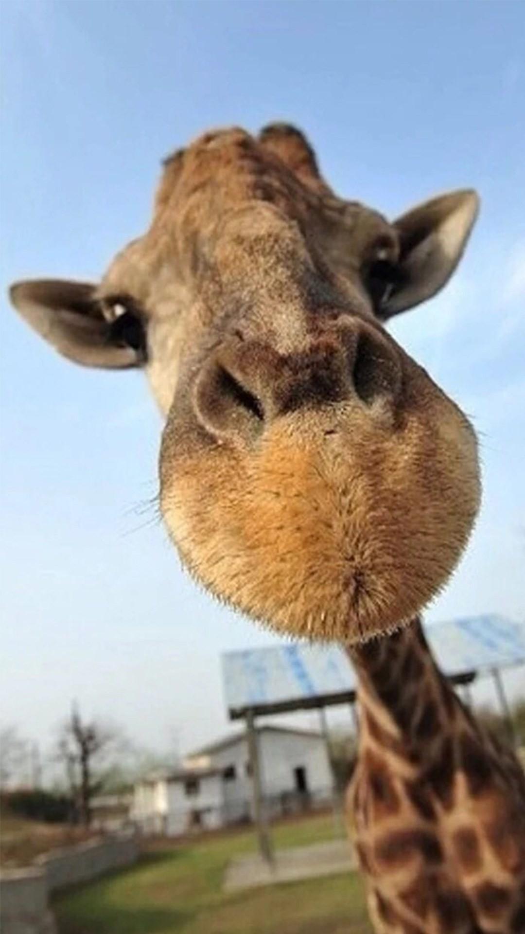 Cute Giraffe Wallpaper (62+ Images