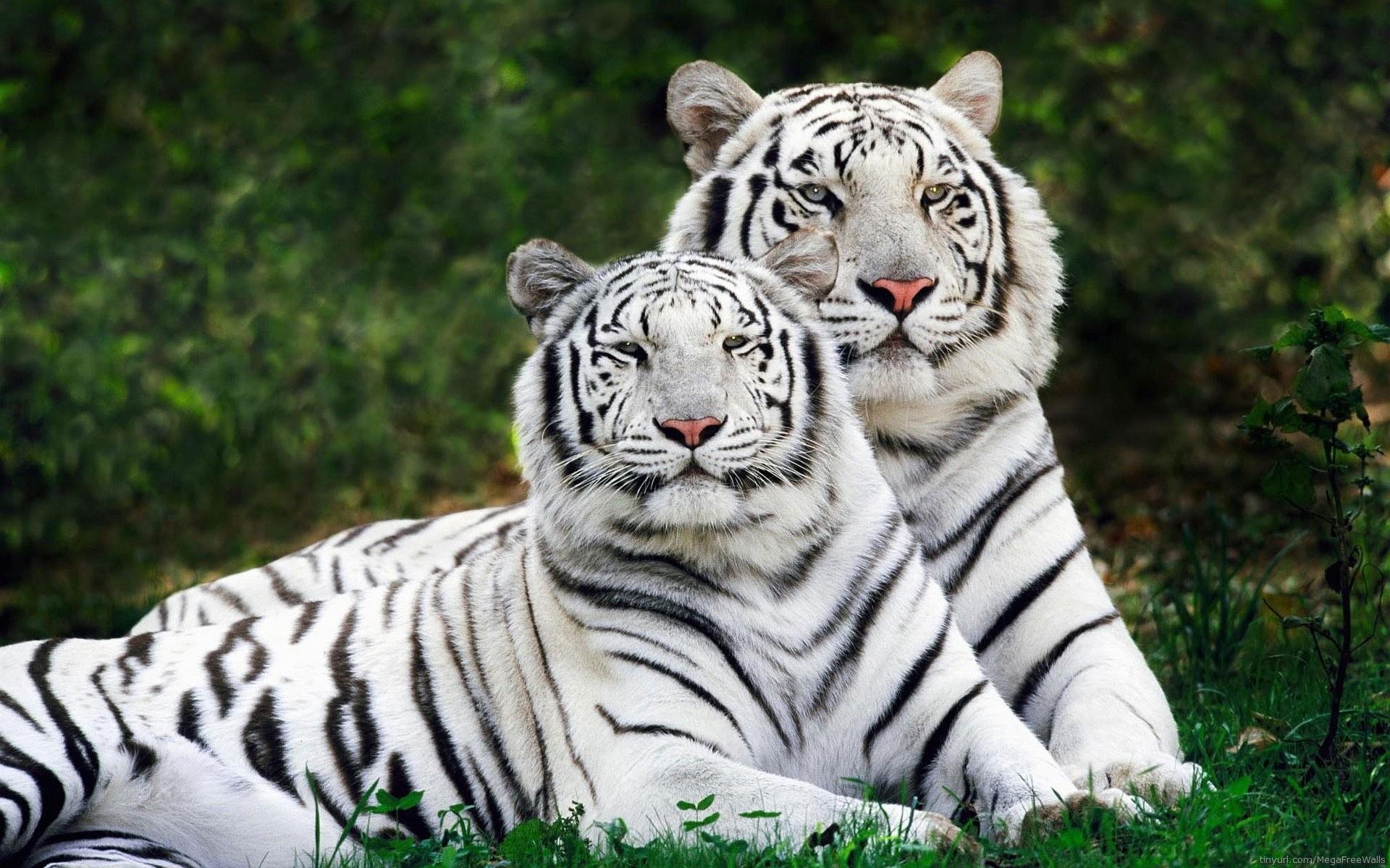 Hintergrundbilder hd tiger
