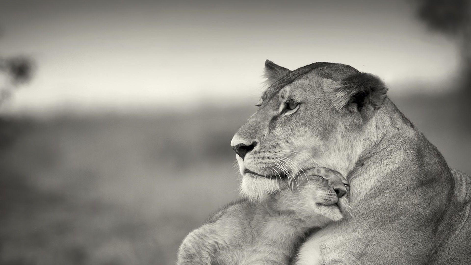 1920x1080 Preview wallpaper lion, couple, wool, cub, black and white
