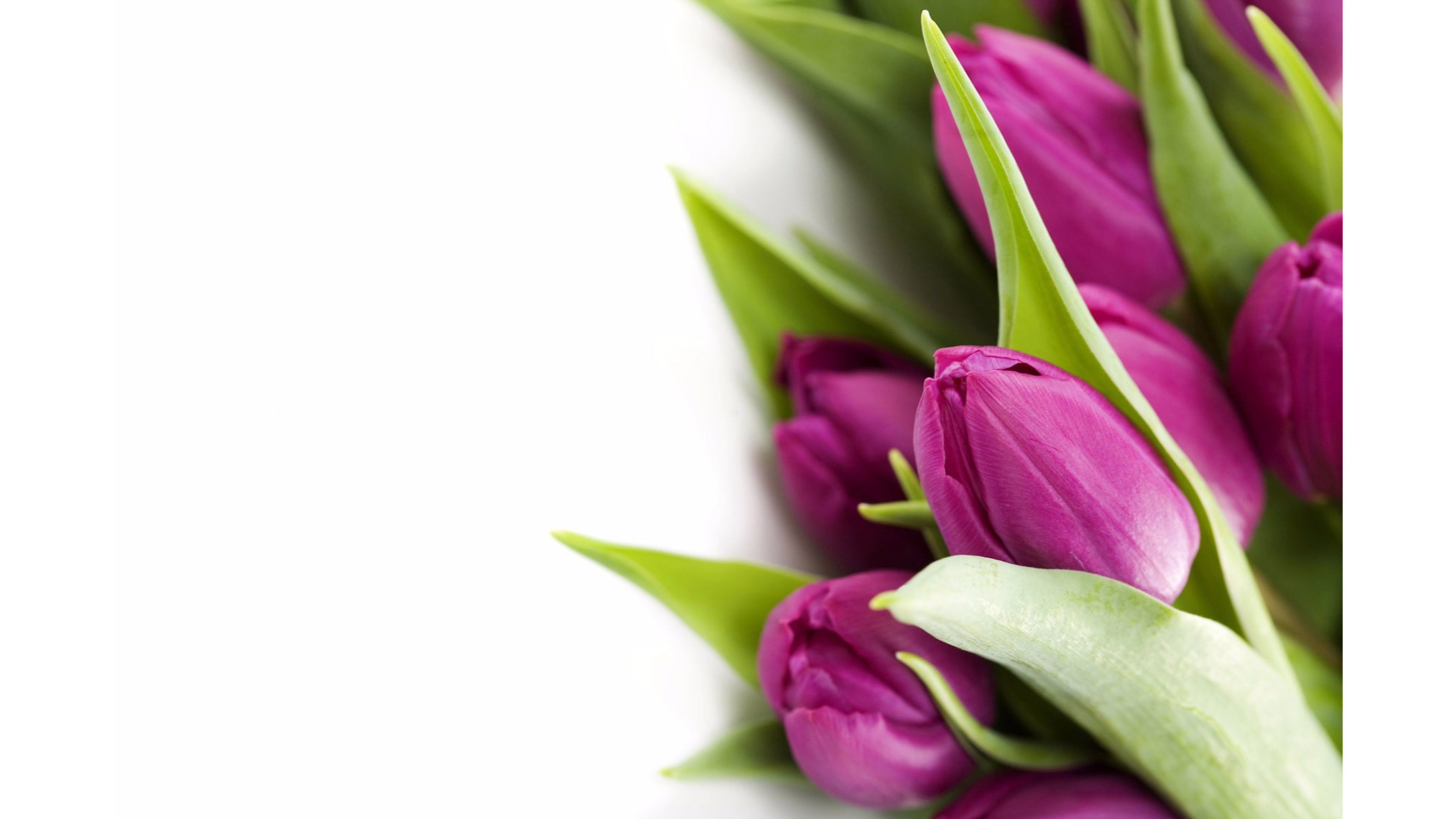 3840x2160 Violet 4K Tulips Wallpaper