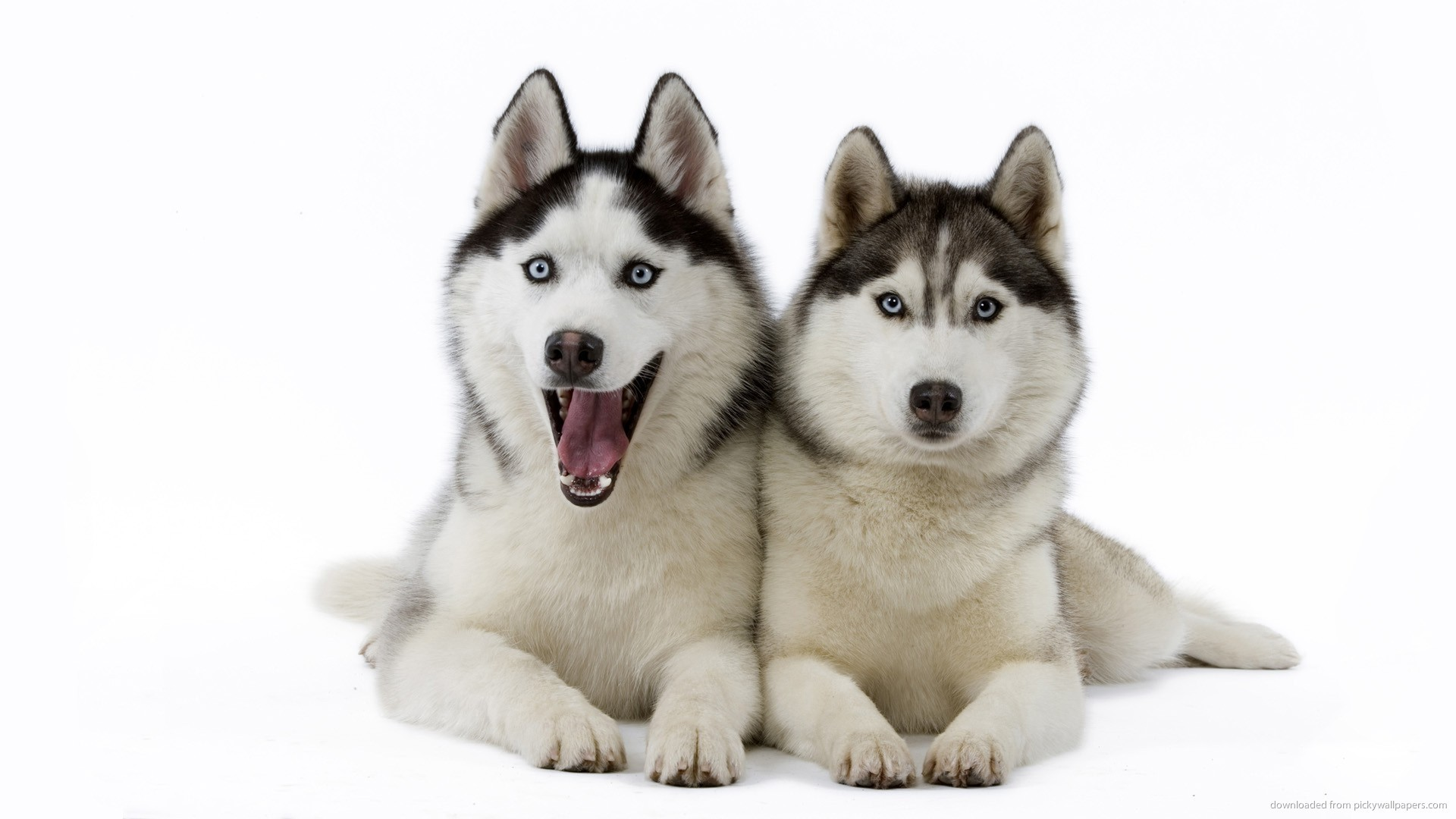 Siberian Huskies Wallpapers 86 Images