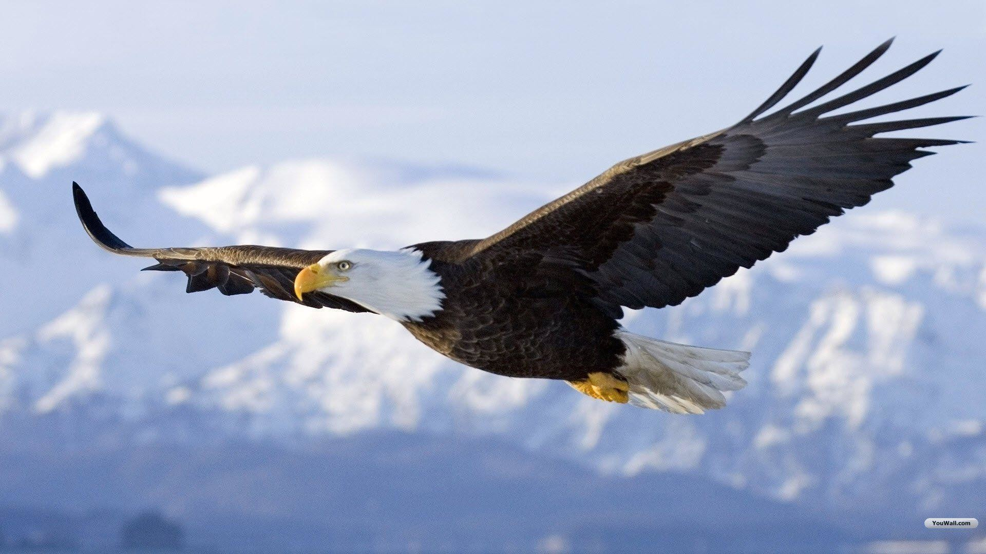 Eagle Wallpapers 68 Images