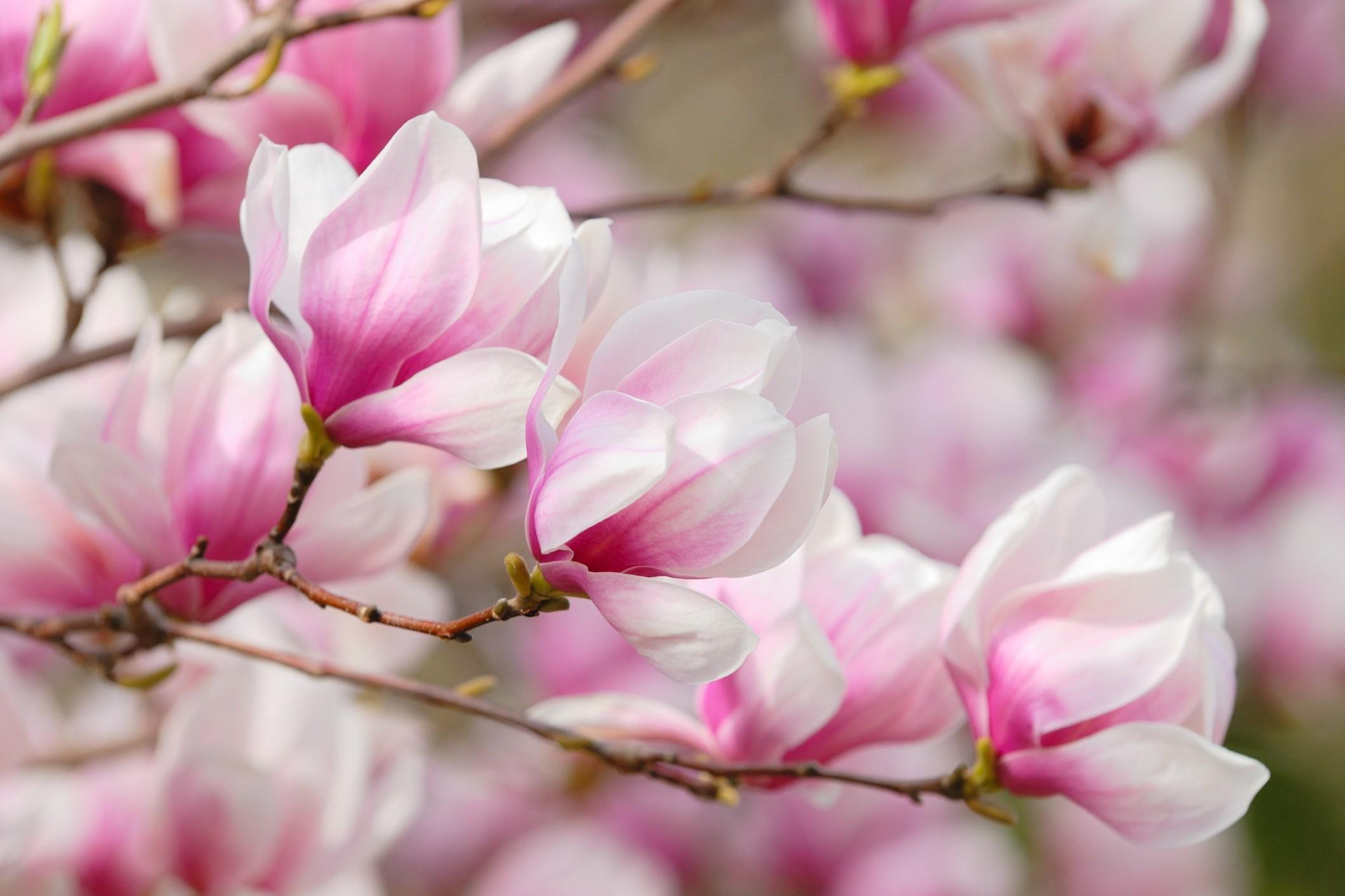 Magnolia wallpaper 64 images - Magnolia background ...