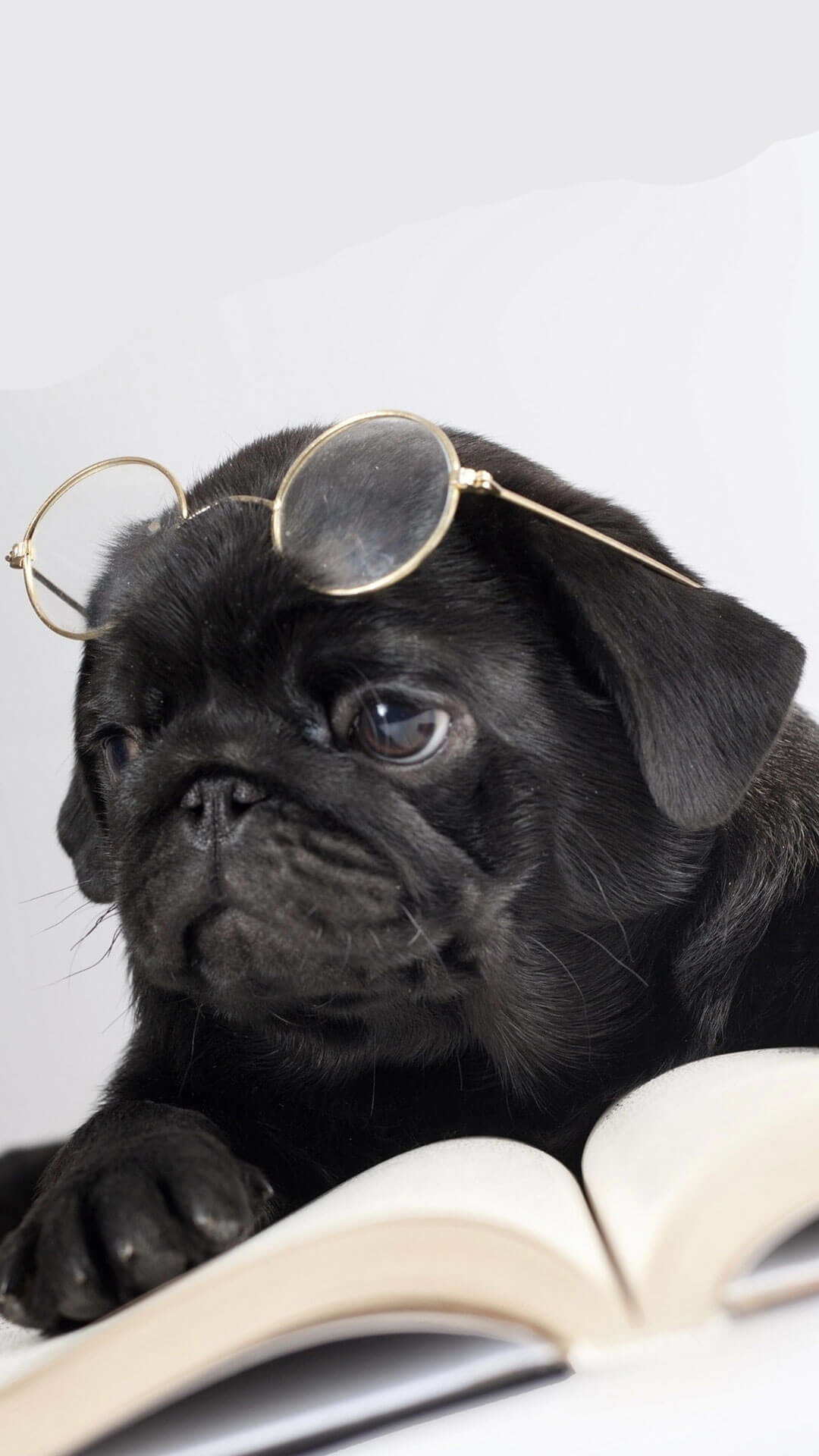 4229475422d Funny Pug Pictures Wallpaper (75+ images)