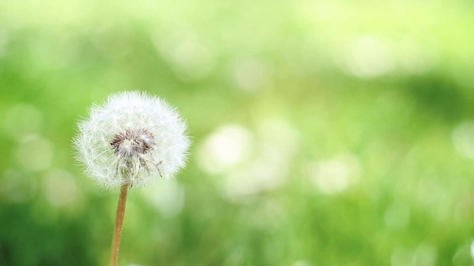 1920x1080 Dandelion floral background video, calming green grass out of focus, single  dandelion swaying in the wind Stock Video Footage - VideoBlocks
