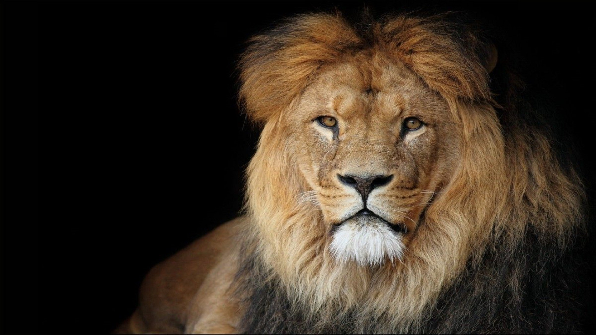 Great Wallpaper Mac Lion - 1016905-download-lion-wallpaper-1920x1080-for-iphone-6  Best Photo Reference_392111.jpg