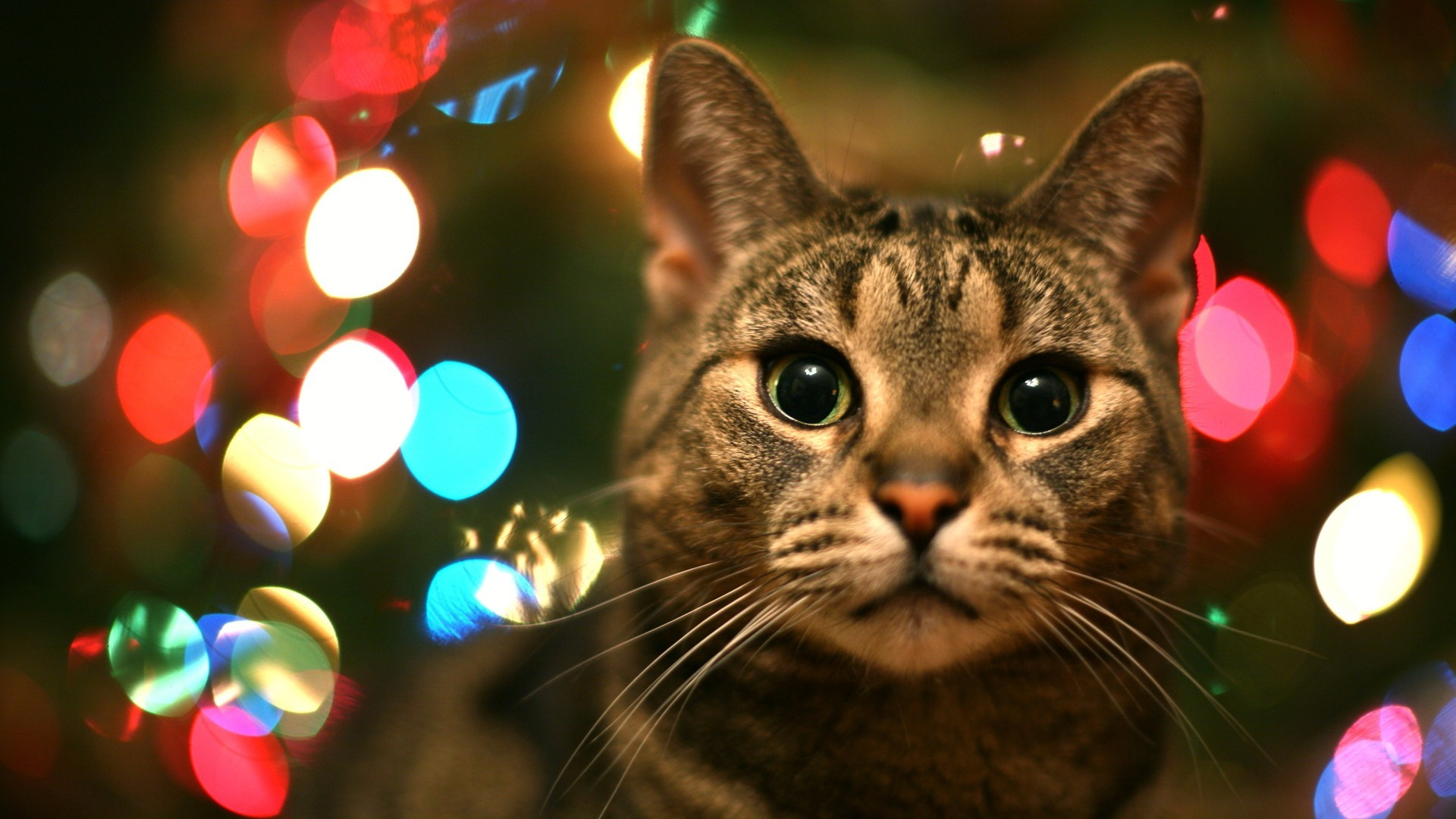 1920x1080 cat in christmas lights in high resolution for free get tabby cat