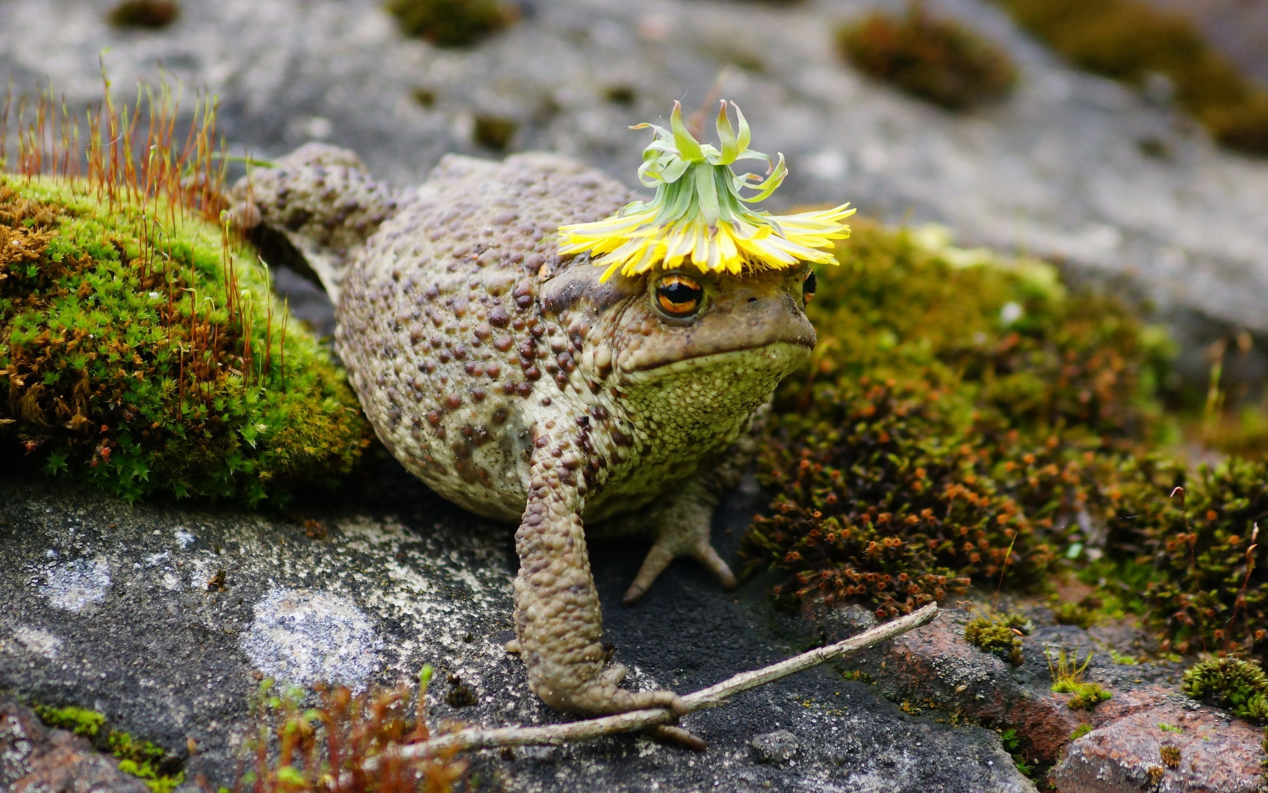 2560x1600 animals, Macro, Toad, Moss Wallpapers HD / Desktop and Mobile Backgrounds