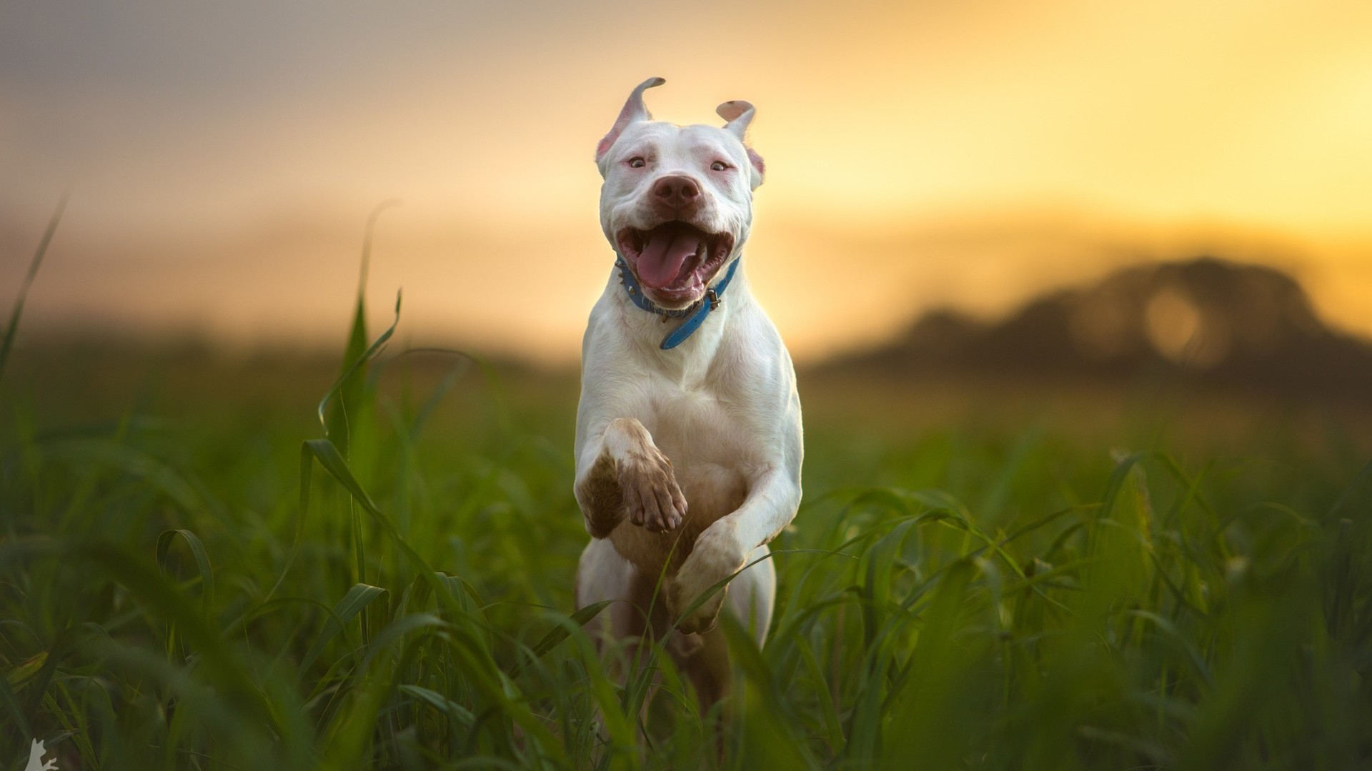 1920x1080 Pitbull Dog Breed Running (Laptop Full HD 1080P)
