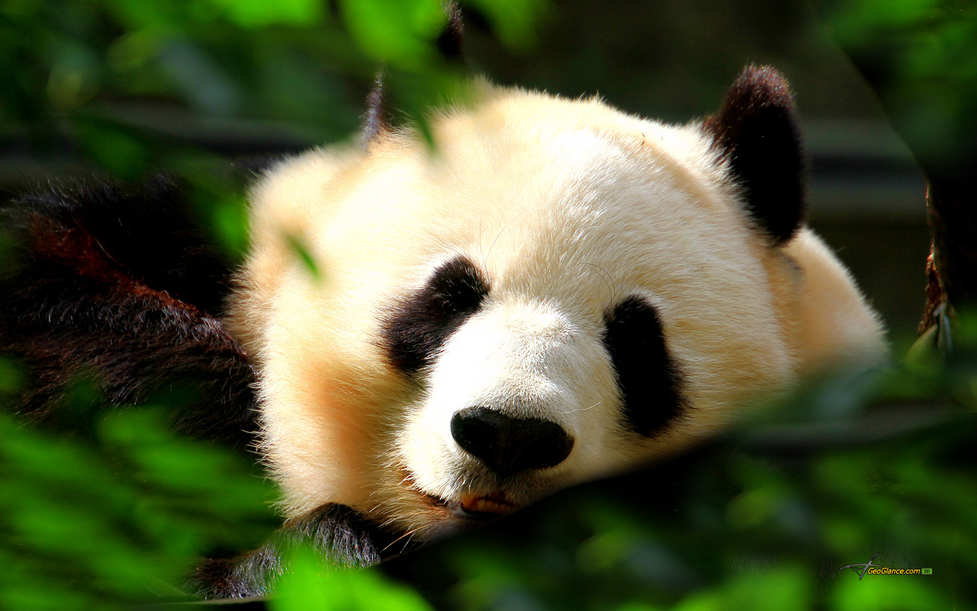 1920x1200 Collection of Baby Panda Wallpapers on HDWallpapers Cute Baby Panda Wallpapers Wallpapers)