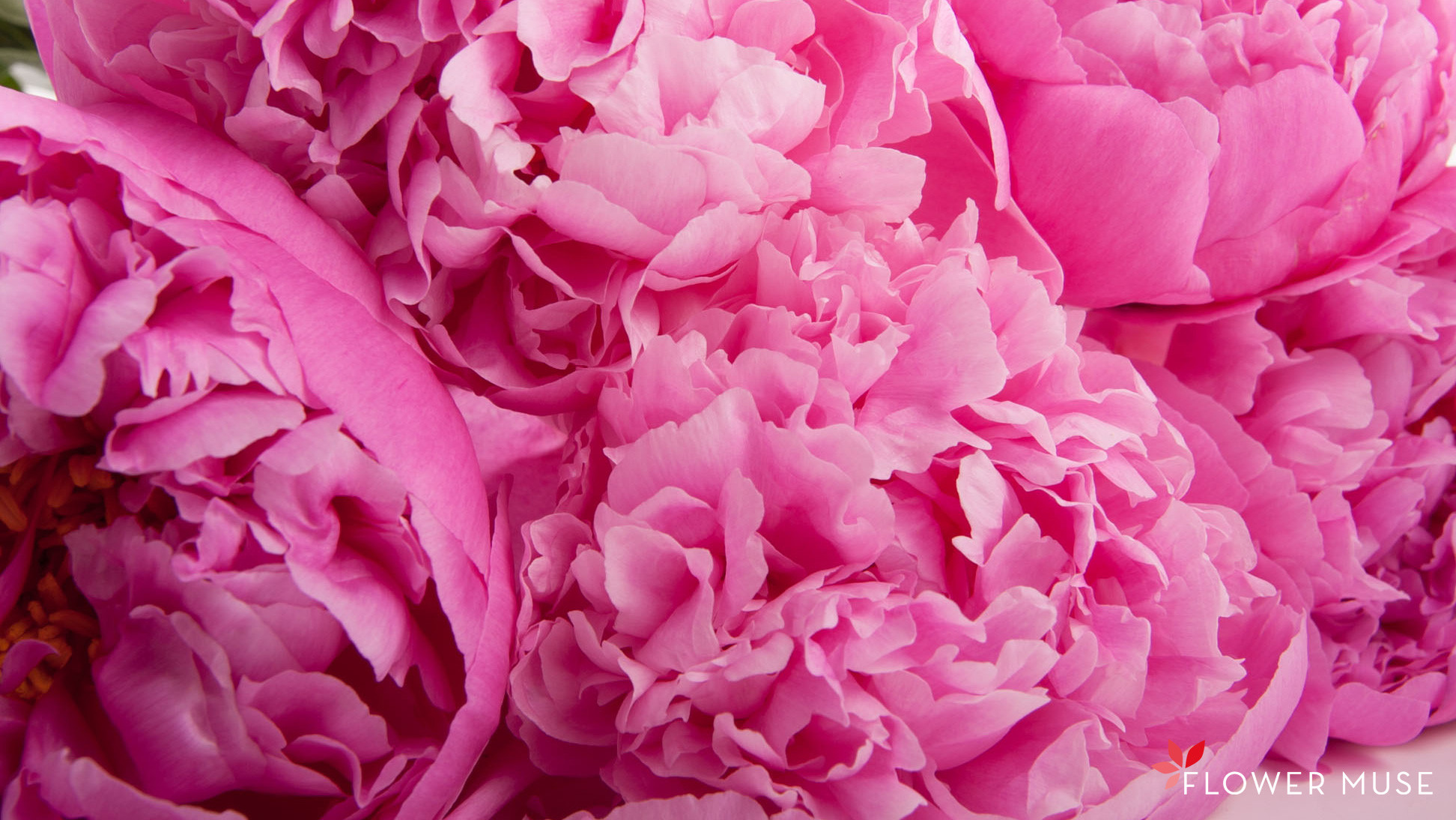 1944x1094 Peonies Widescreen Wallpaper