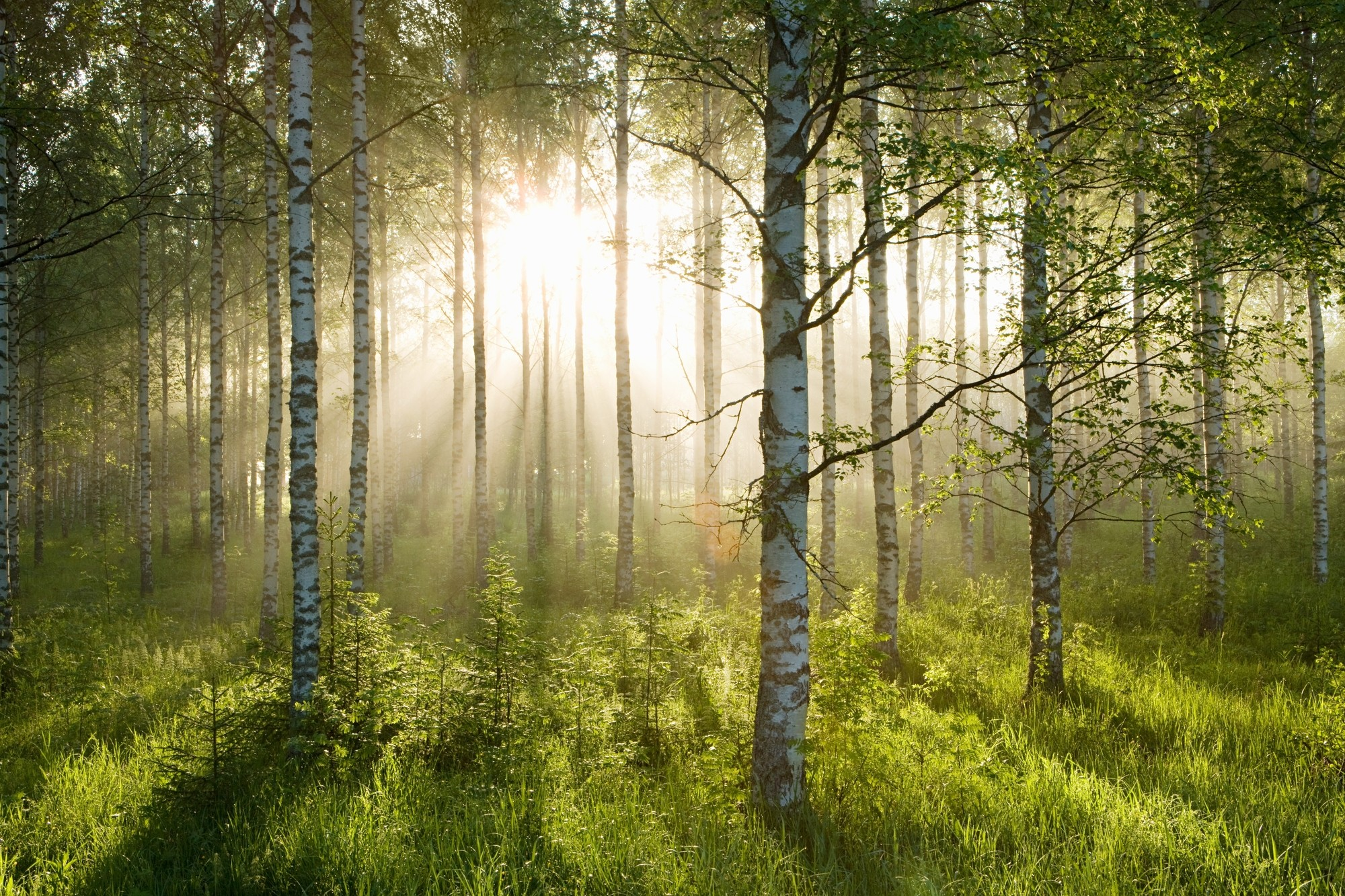 2000x1333 Birch Forest Sunlight Wallpaper