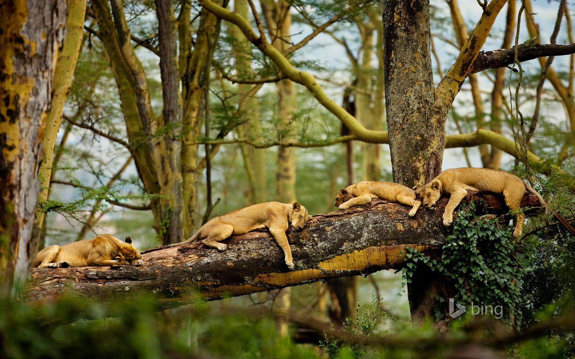 1920x1200 Mama Lions Sleeping after the Hunt - popular, wallpaper, big cats, animals,  lions