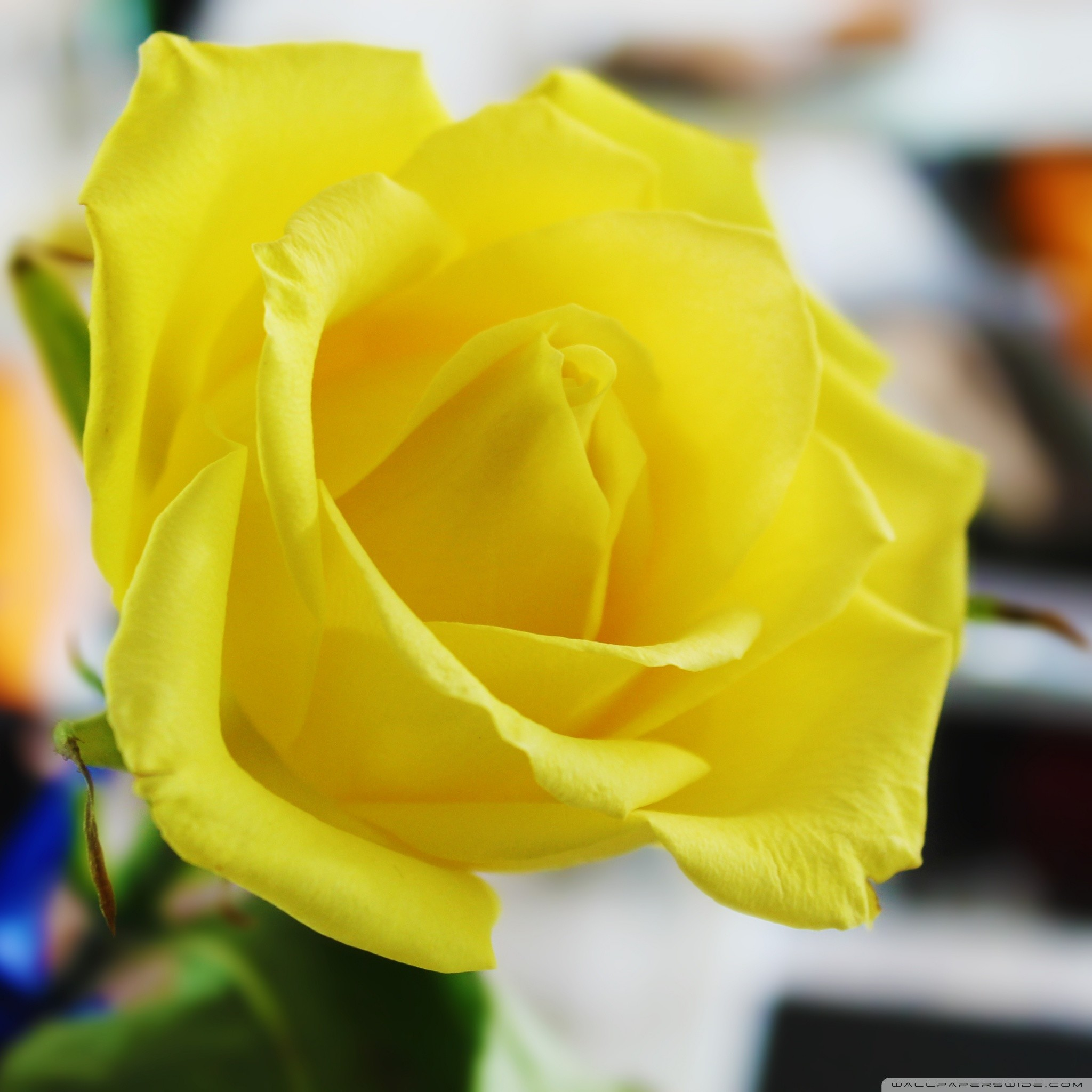 1920x1200 Yellow Rose Wallpapers High Quality Download Free 2048A 1360 Image 55