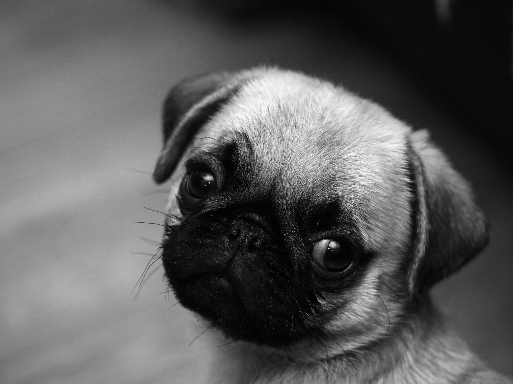 2048x1536 Images For > Cute Baby Pug Wallpaper
