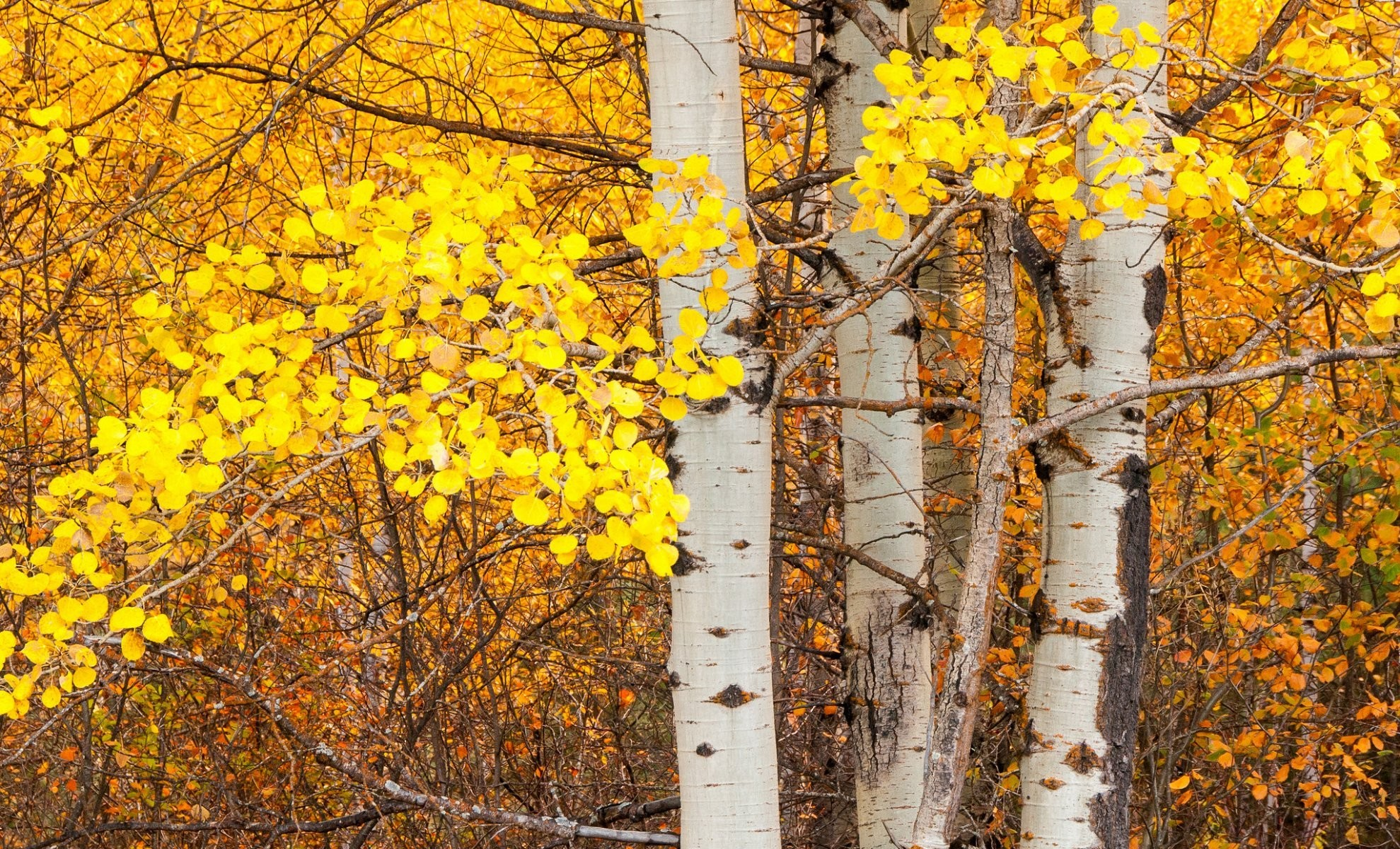 1979x1200 tree aspen trunk leaves autumn
