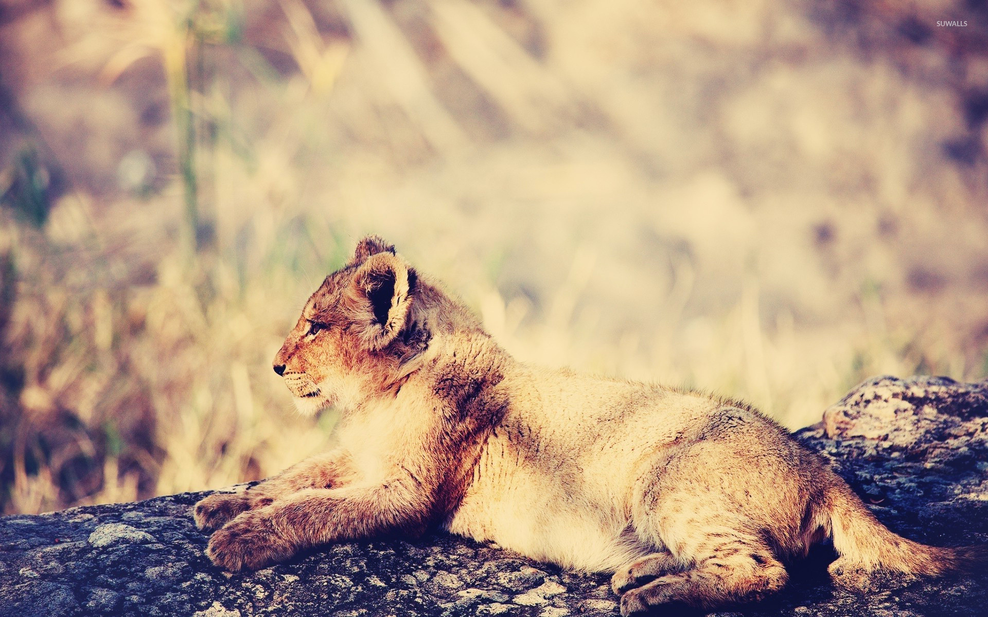 1920x1200 Lion cub [3] wallpaper