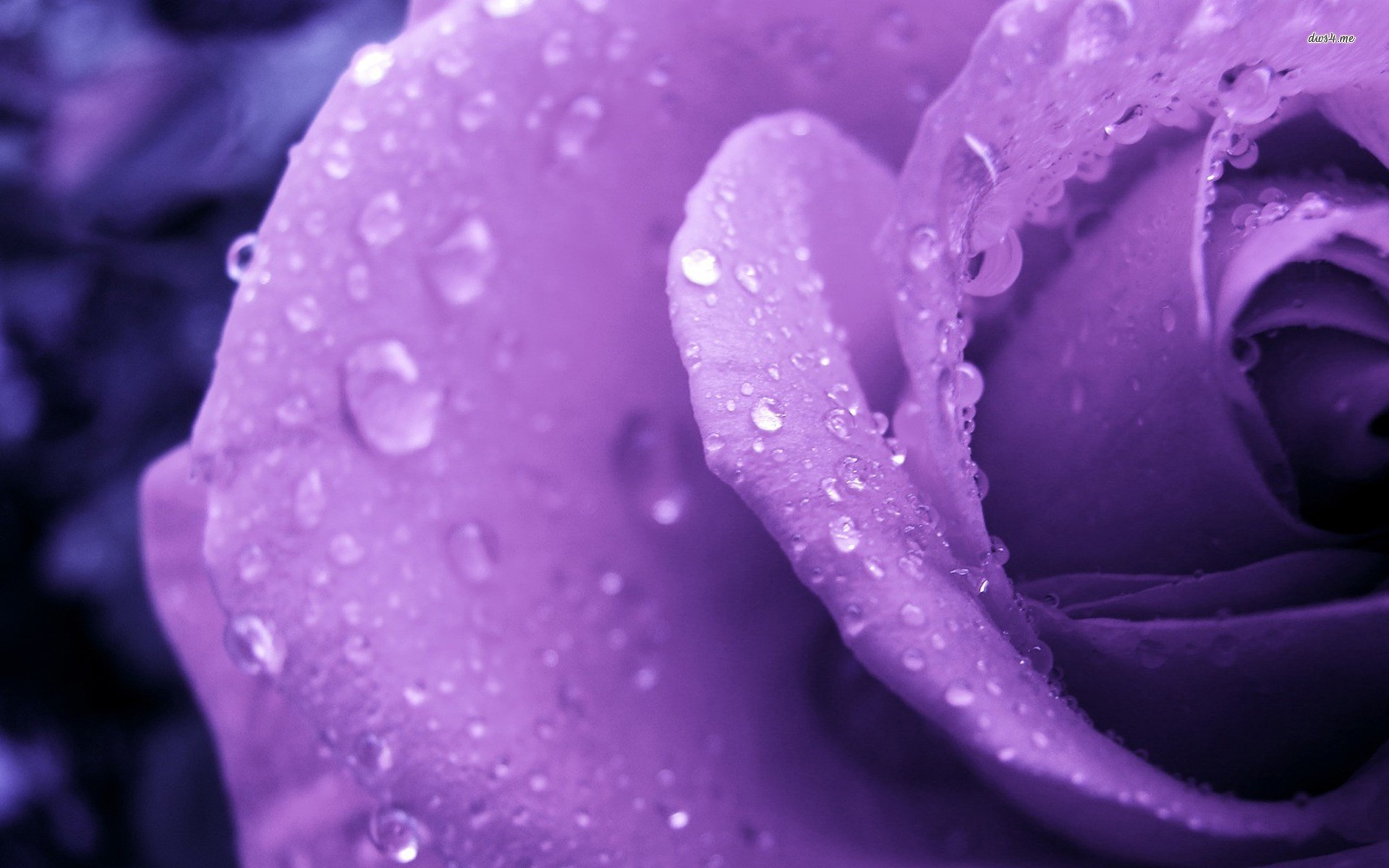 1920x1200 Purple Flower 4K Purple Flower Background ...