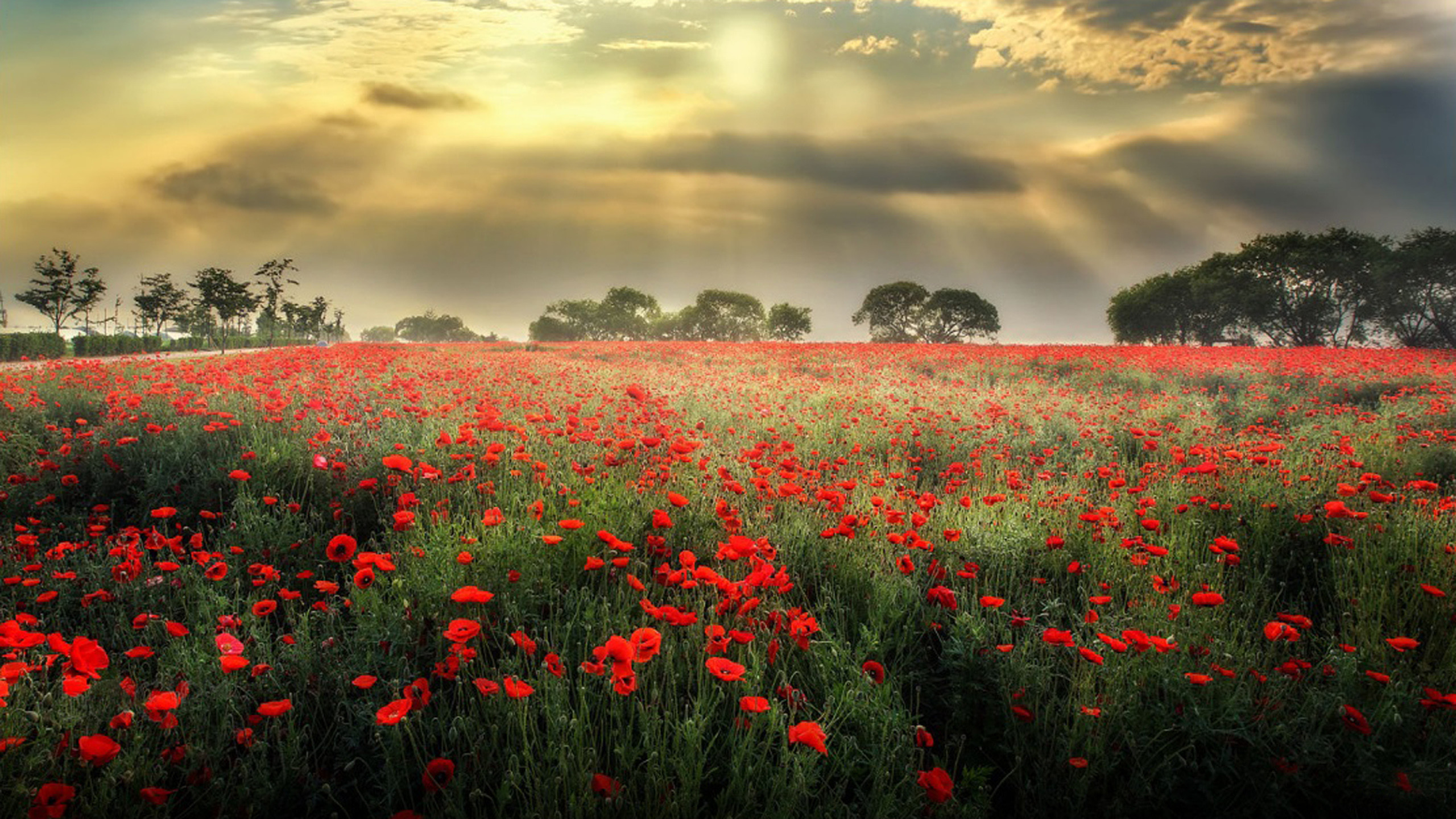 2560x1440 wallpaper poppies Meadow With Red Poppies, Dark Black Clouds Sun Rays Desktop  Wallpaper Hd