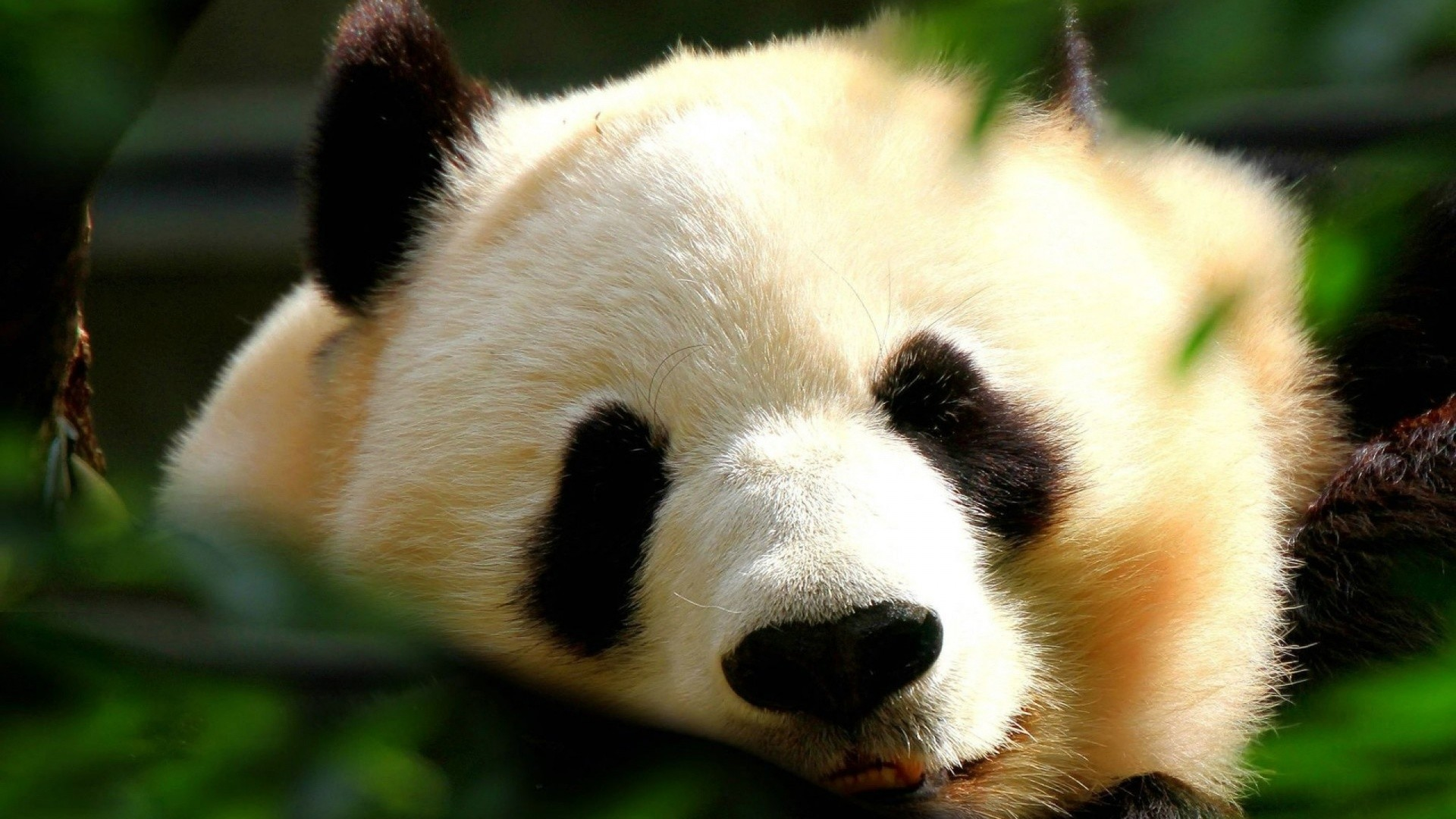 1920x1080 Cute Baby Panda Wallpaper Images Walls Pics Ormond Sheldon 1920 X 1080