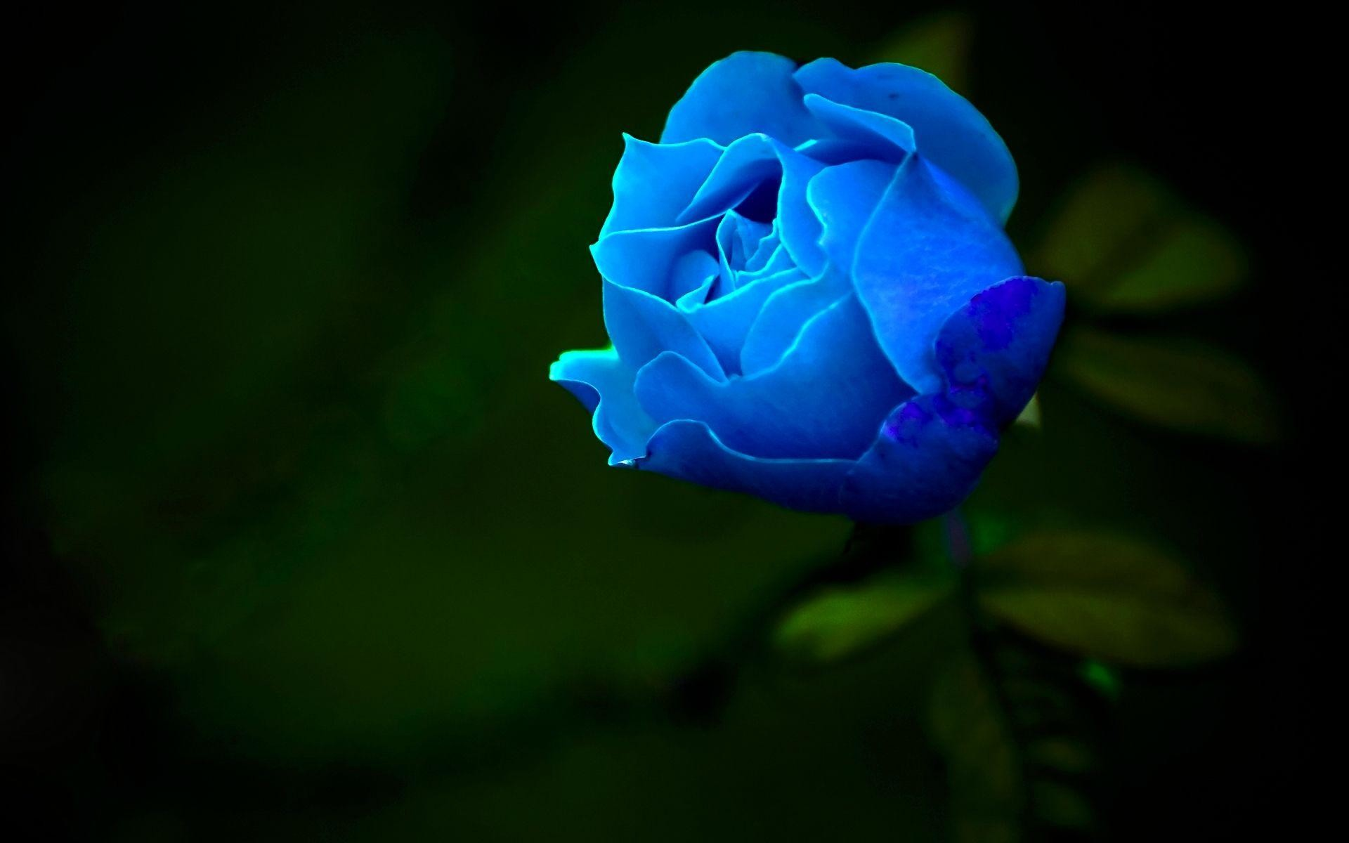 1920x1200 Blue Rose Android HD Wallpaper - HD Wallpapers