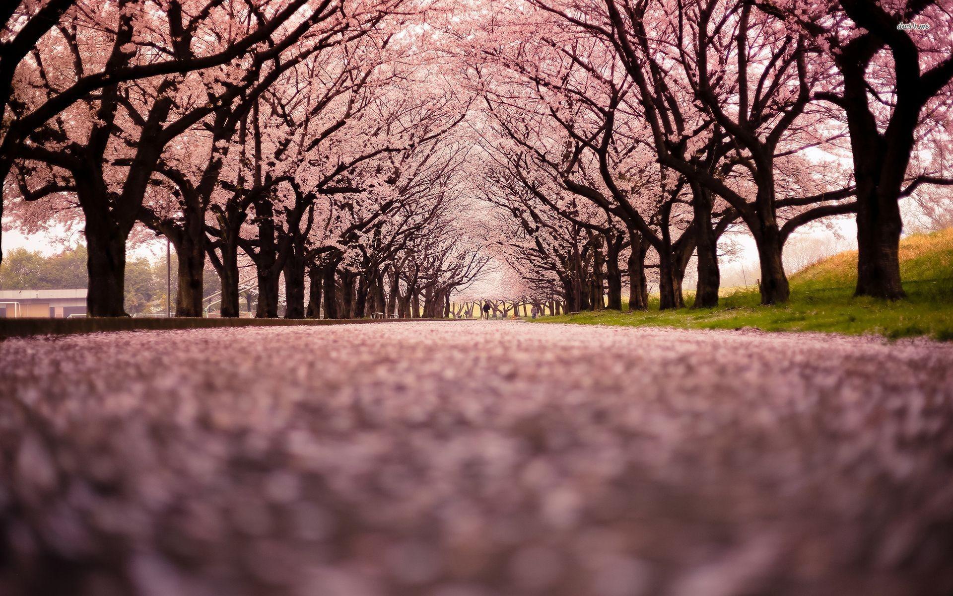 Cherry Blossom Tree Wallpaper 60 Images