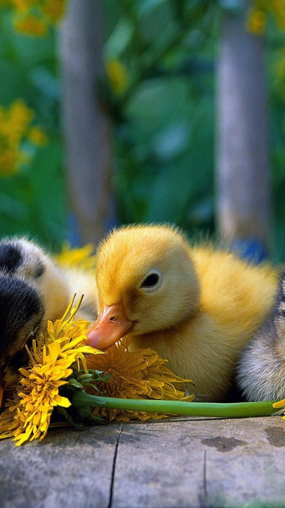 1080x1920 Android wallpaper free download Birds   baby_birds_duckling_ducks_nature_yellow_flowers