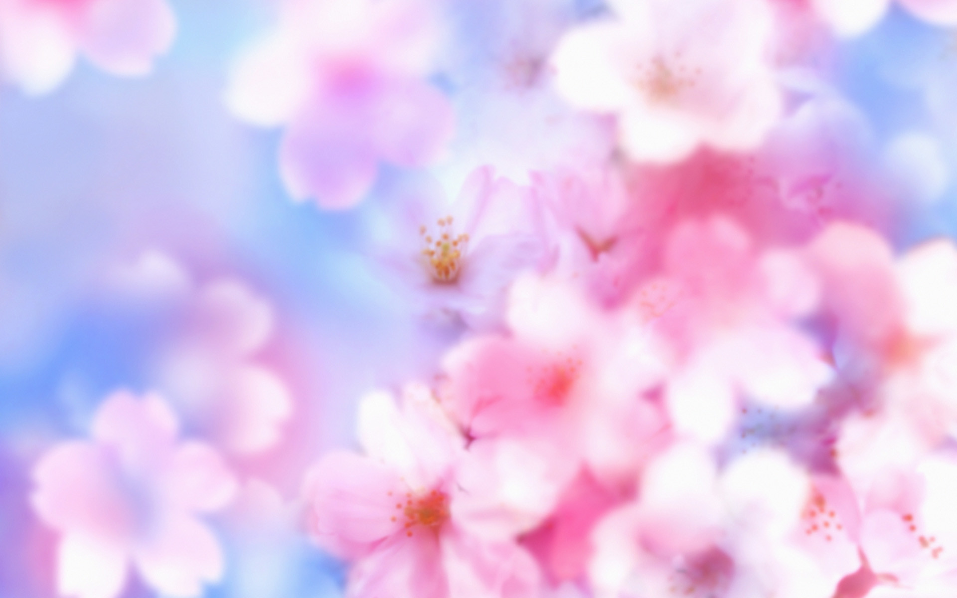 1920x1200 free download cherry blossoms flowers hd pictures