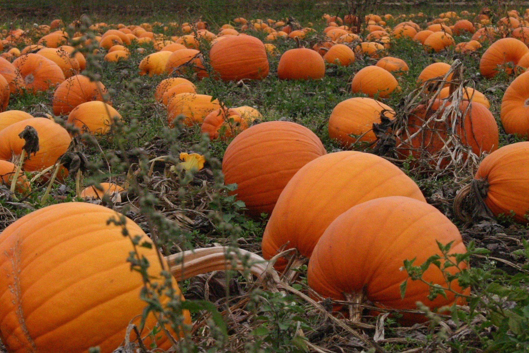 autumn pumpkins desktop wallpaper 50 images